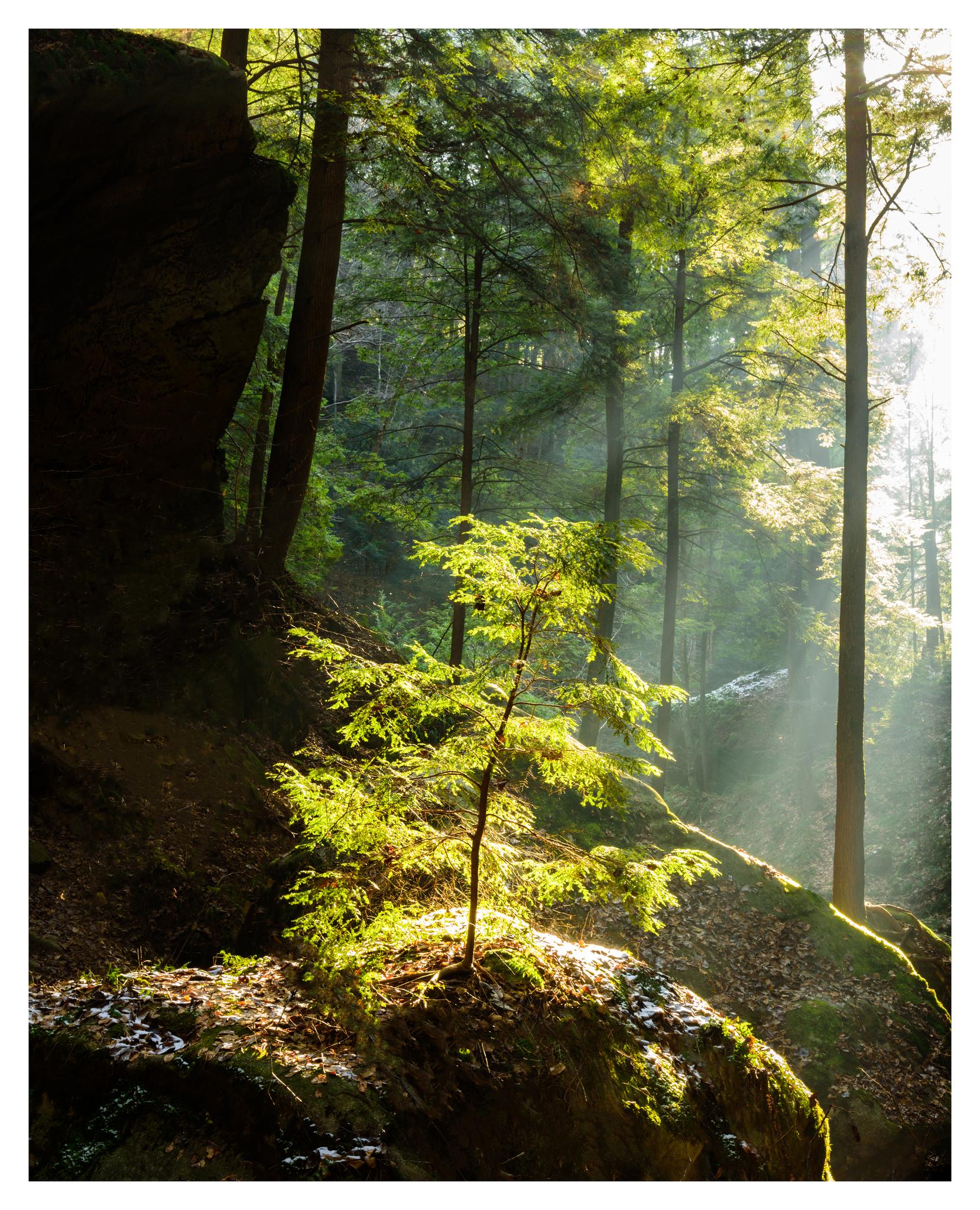Illuminated Hemlock Sapling - Nikon D750