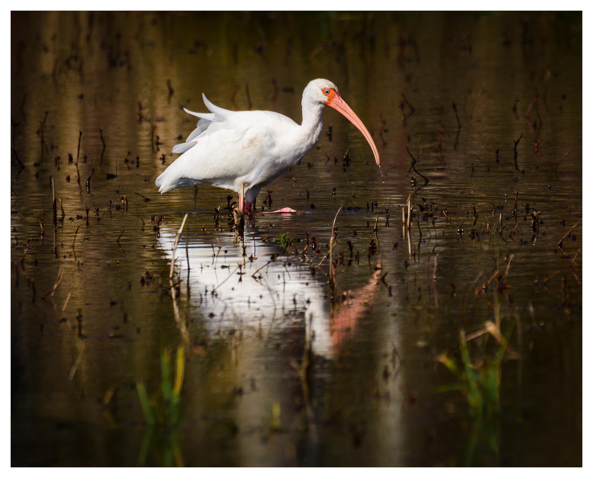 White Ibis at Mattamuskeet - Nikon D500 w/Tamron 150-600mm lens