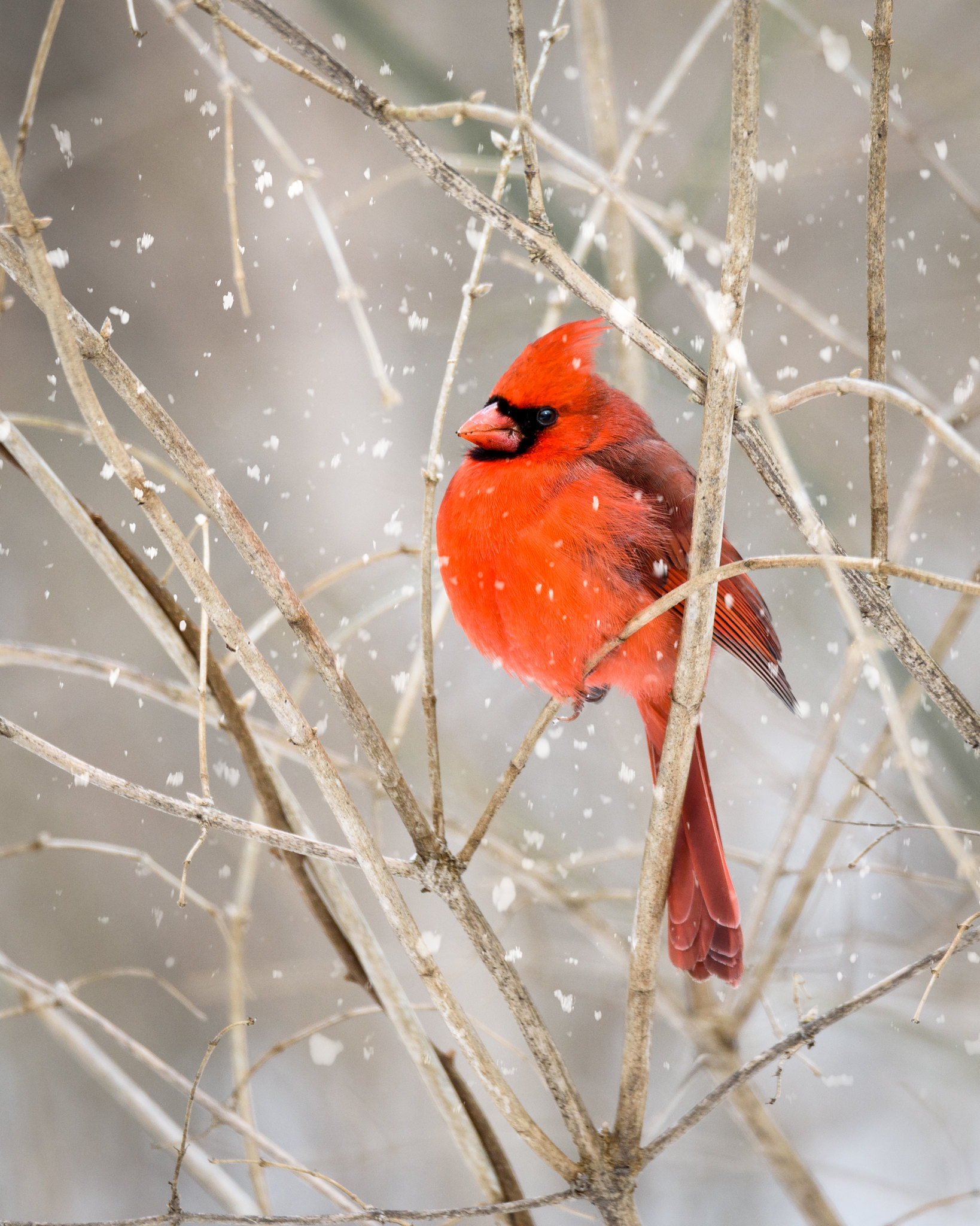Male Cardinal during a snowy lunch walk at Hills and Dales MetroPark.