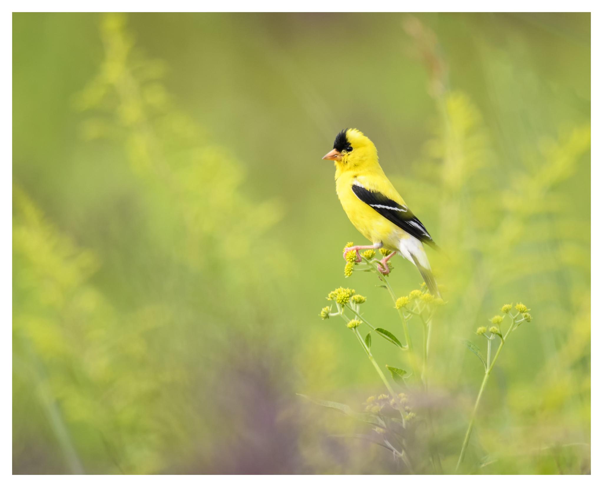 Male Goldfinch at Huffman Prairie.