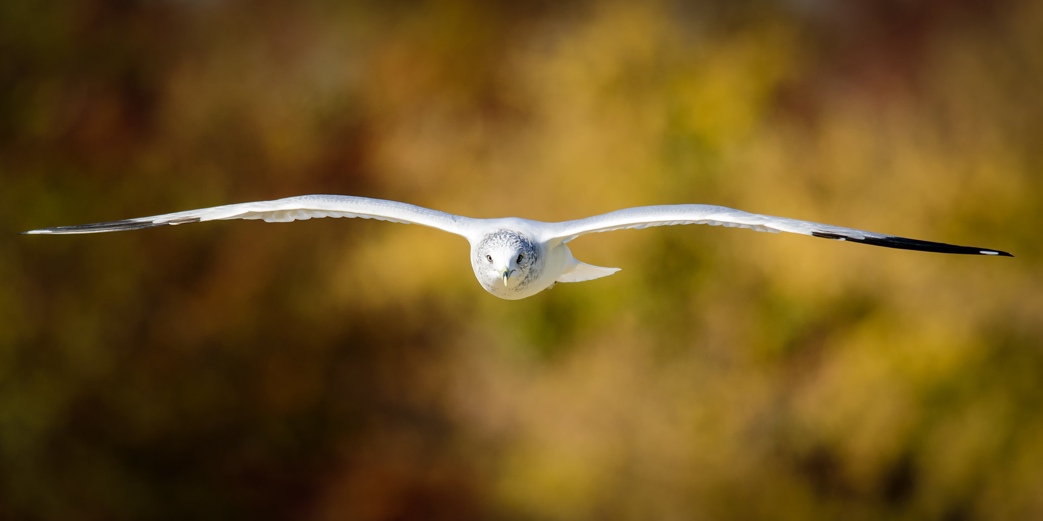 Ring-Billed Gull at Deeds Point in the Fall.