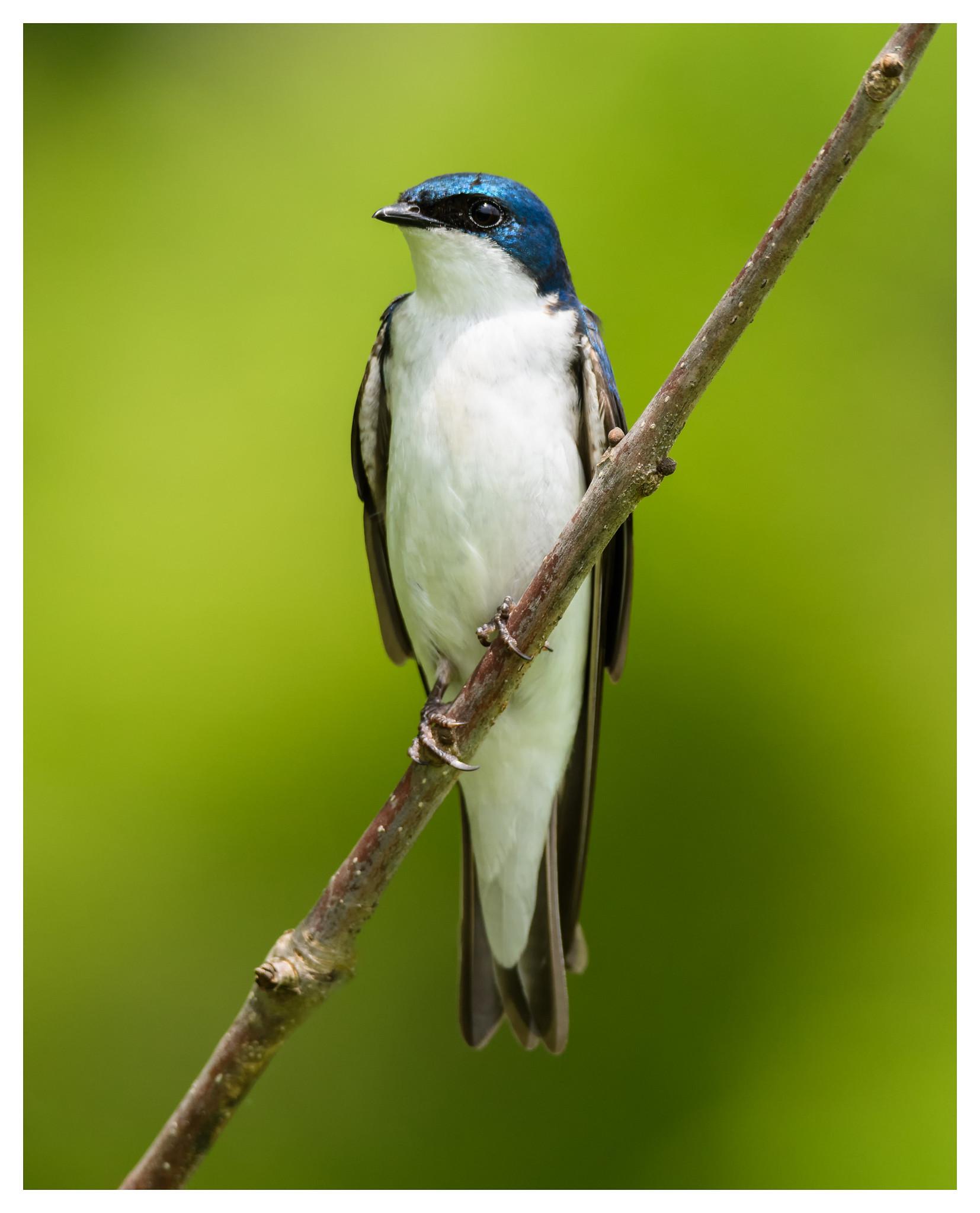 Male Tree Swallow at Sugarcreek Reserve.