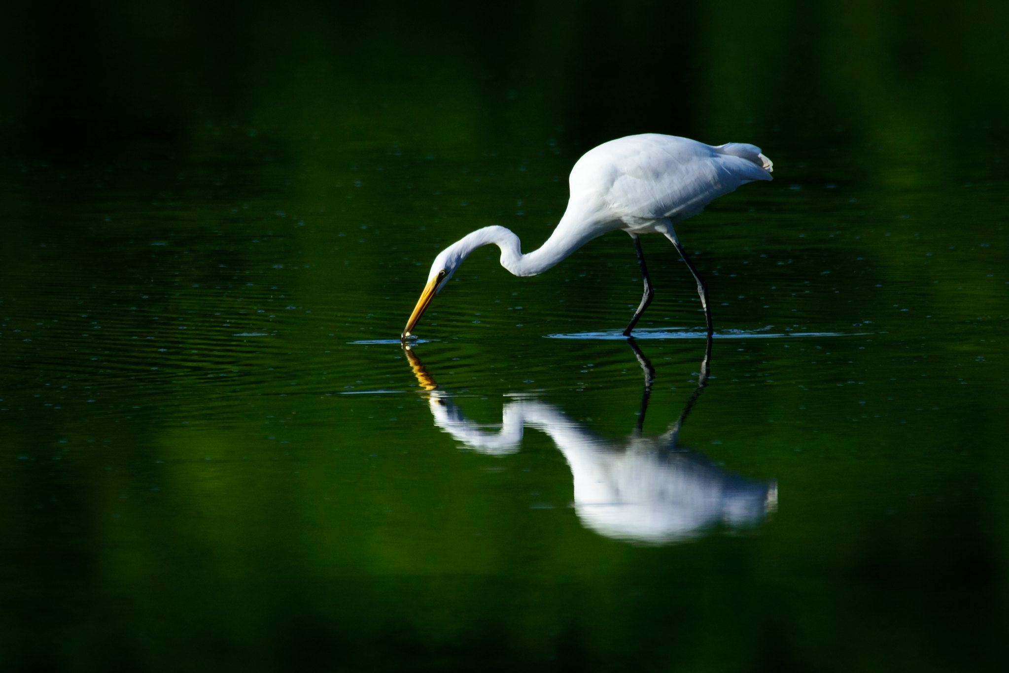 Great White Egret at Englewood Metropark.