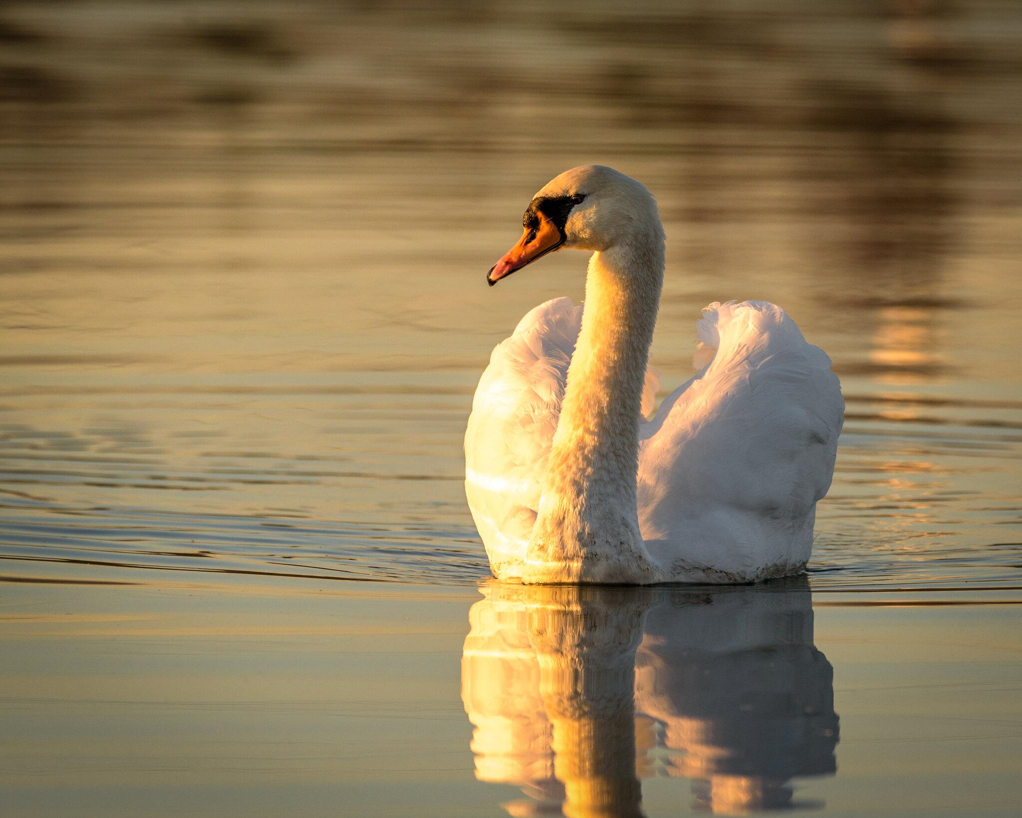 Mute Swan at Sunrise in the pond near Kroger in Bellbrook.