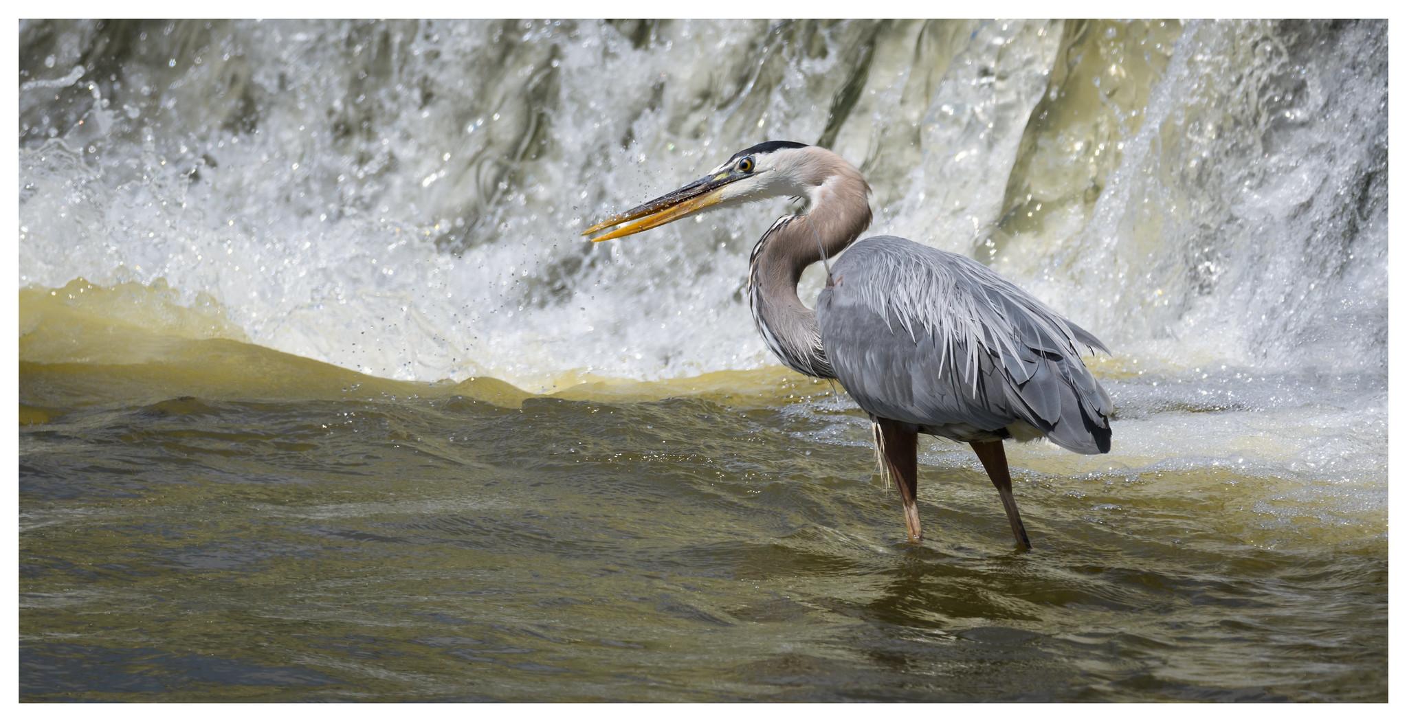 Great Blue Heron at Deeds Spillway.