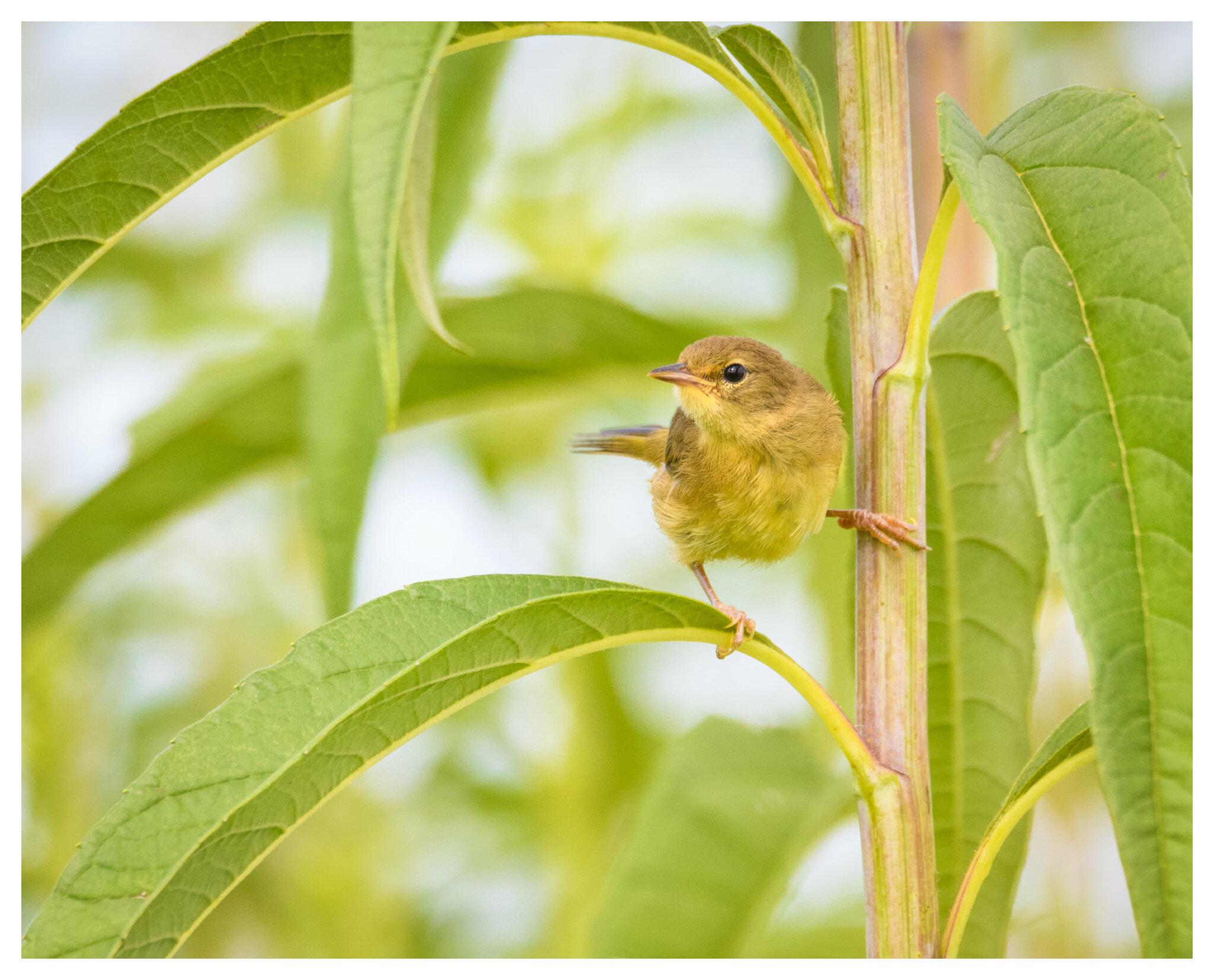 Female Common Yellow Throat Warbler - Huffman Prairie