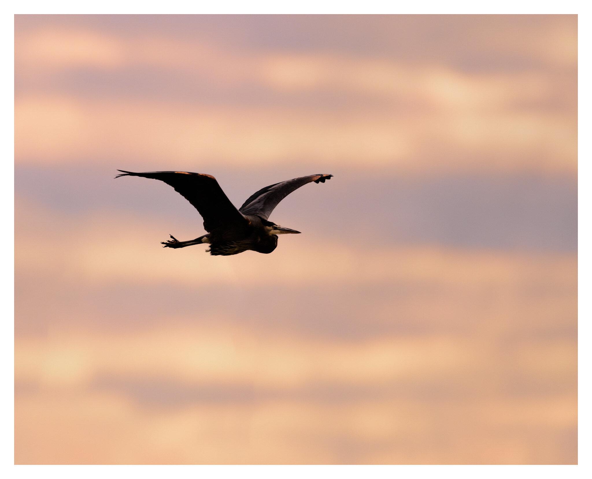 Great Blue Heron morning flight - Deeds Point