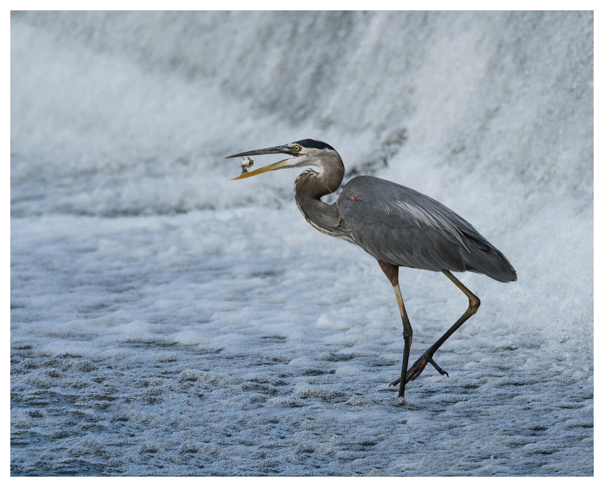 Great Blue Heron fish flip - Deeds Point