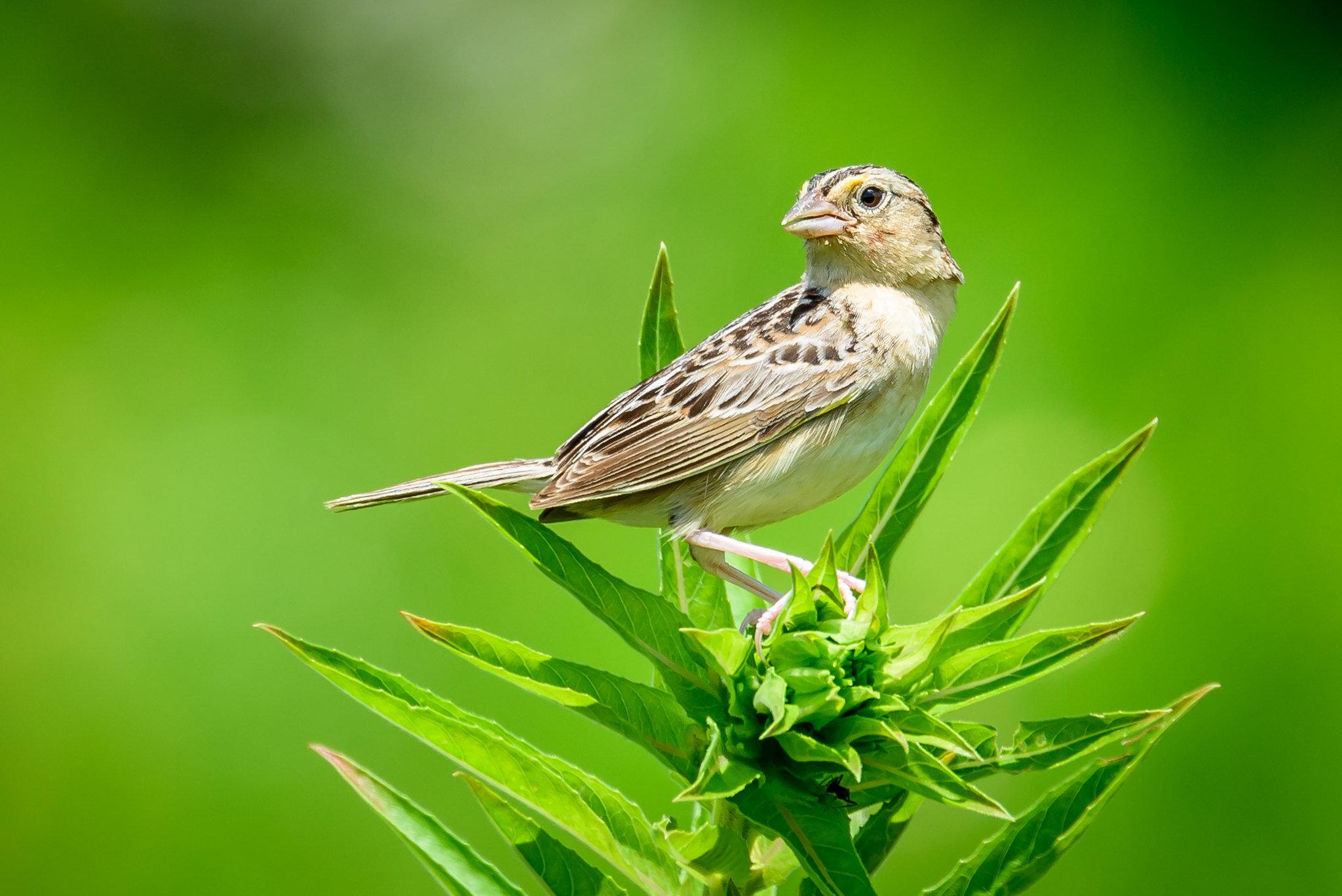 Grasshopper Sparrow - Twin Creek hiking trail