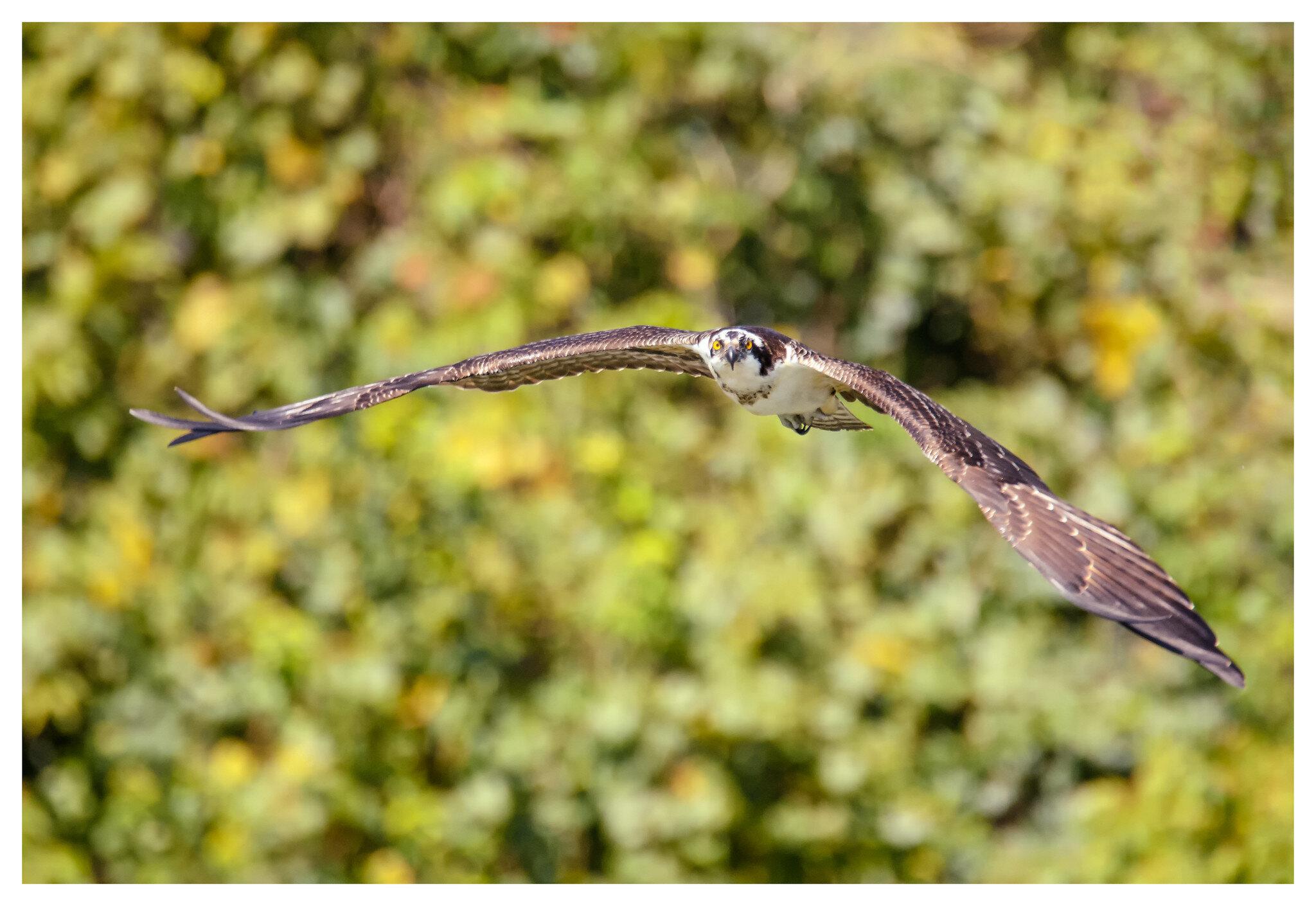 Osprey in flight - Spring Lakes Reserve in Bellbrook