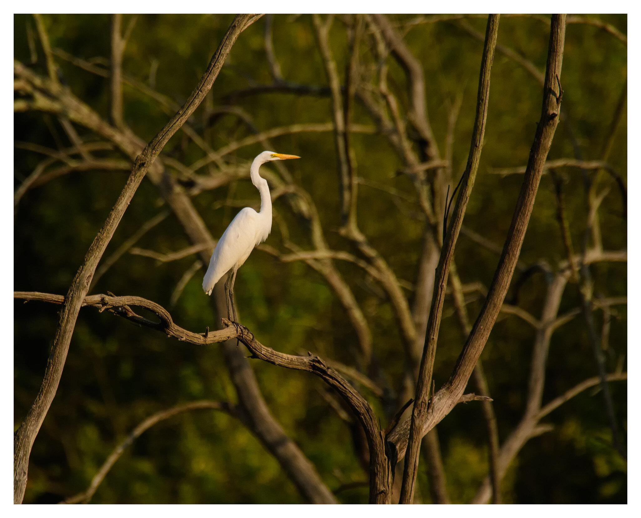 Great White Egret - Caesar Creek State Park