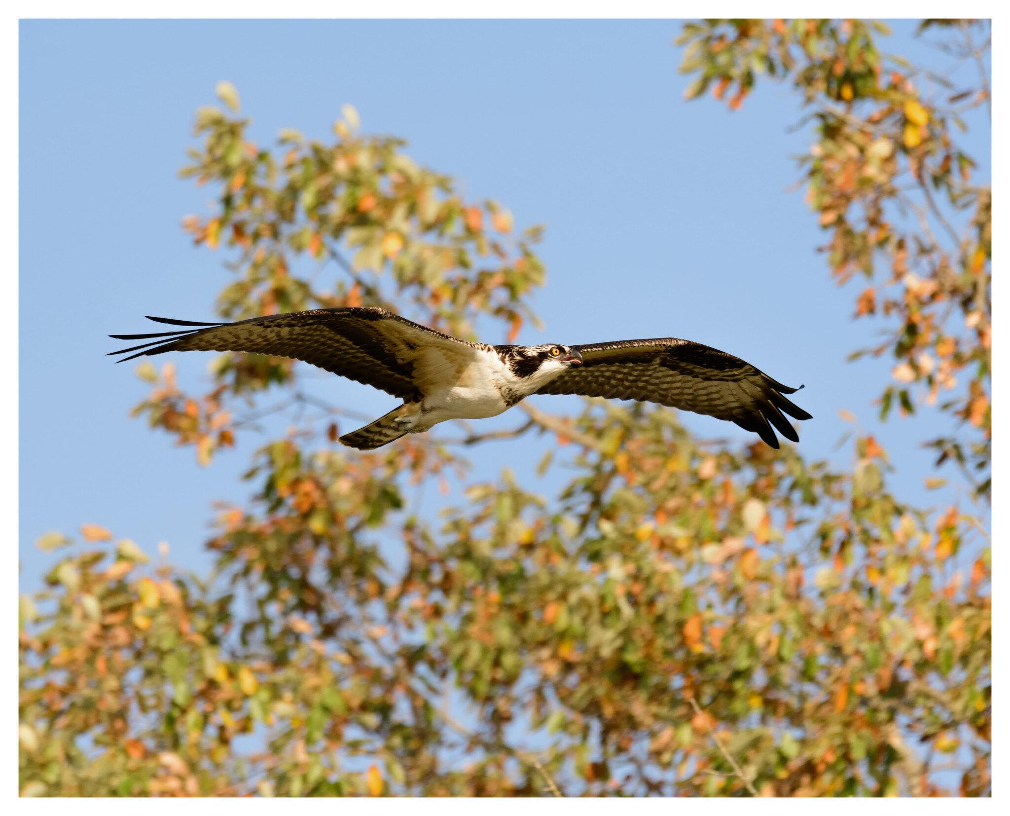 Osprey - Caesar Creek State Park