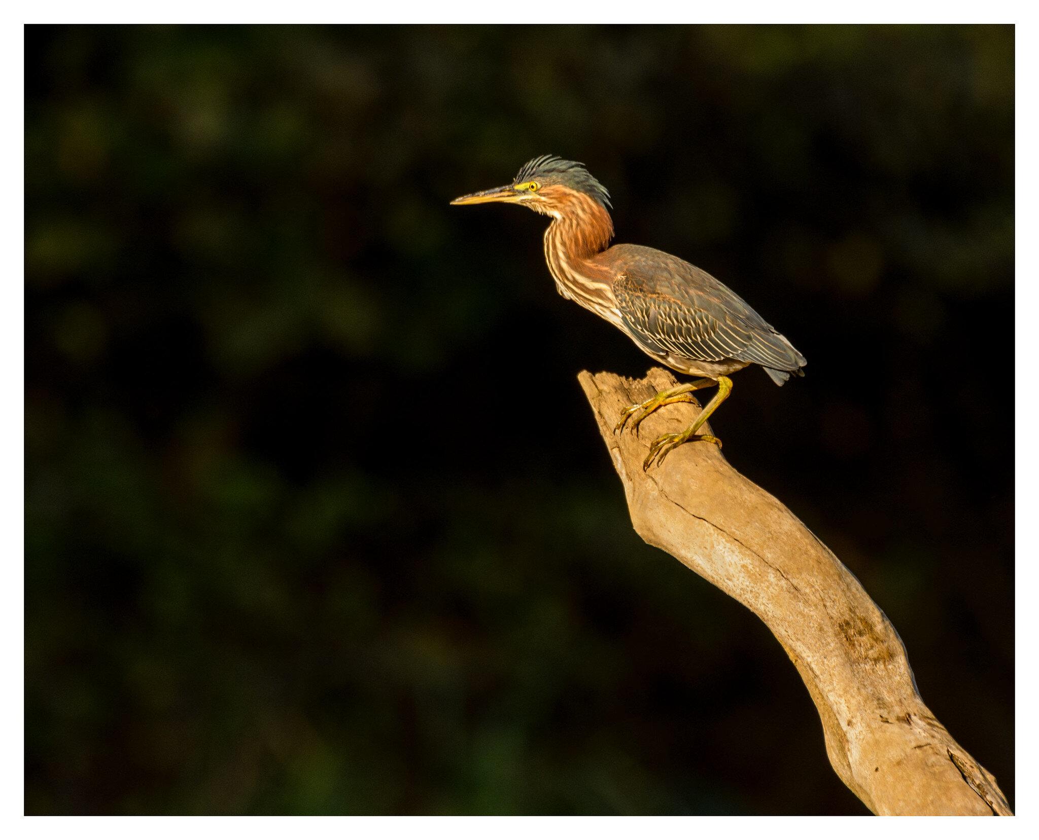 Green Heron - Caesar Creek State Park