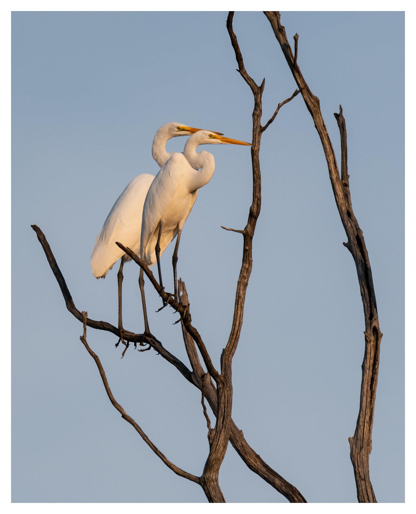 Great White Egrets - Caesar Creek State Park