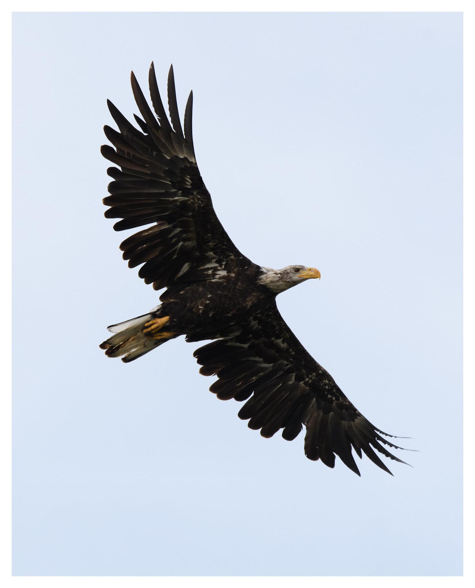 Juvenile Bald Eagle - Englewood Metropark
