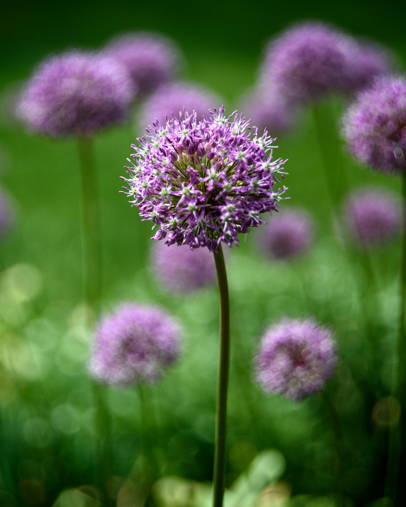 An M44-7 image shot at f/2. The Alliums in the background were relatively close to the one in the foreground so they aren't as swirly. The grass behind them with the dew on it, however, is just swirly Bokeh balls.