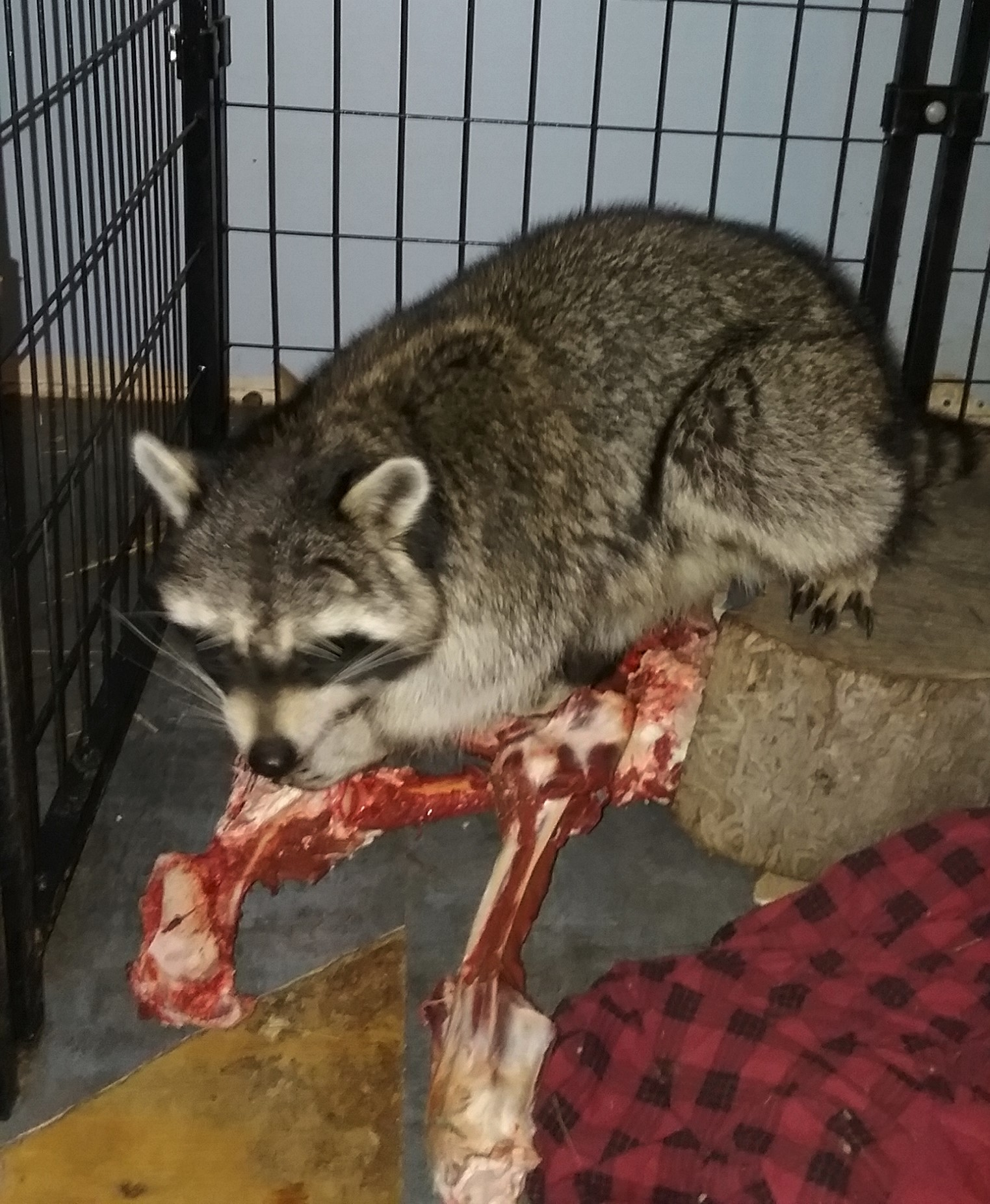 We supplement our raccoons diet with venison supplied by local hunters in fall. - Photo by Ame Vanorio