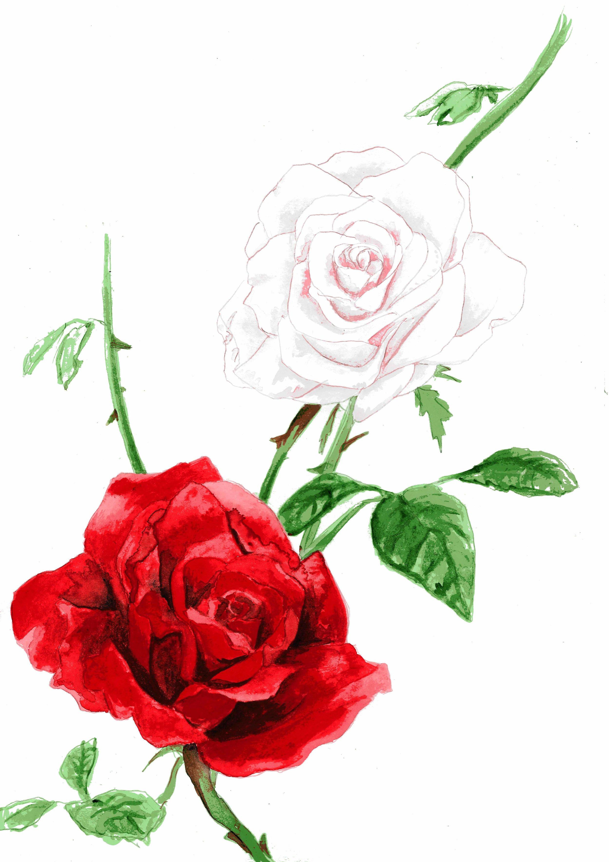 toby curden illustration-roses small.jpg