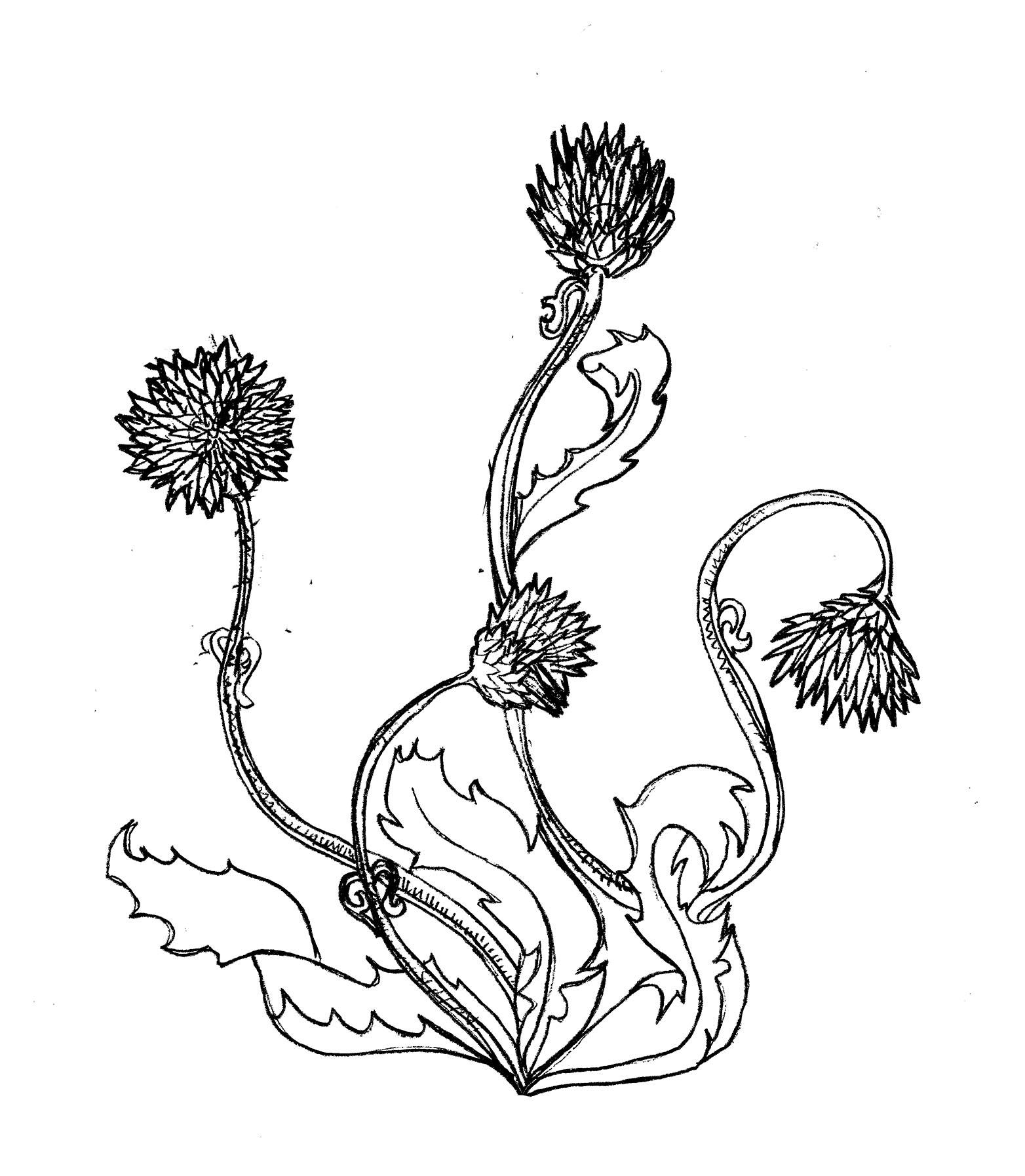 tobycurden_illustration_thistle small.jpg
