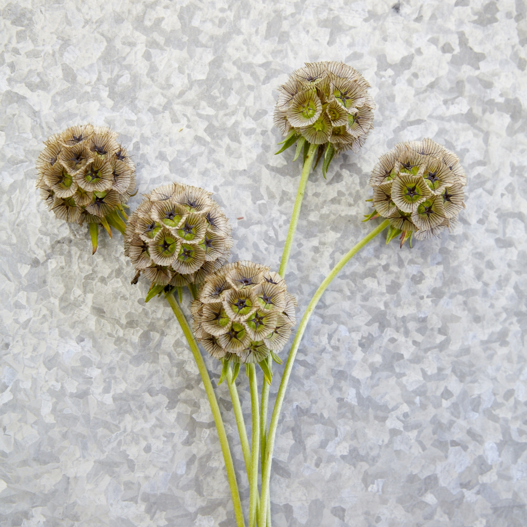 FlowerSybil6.jpg
