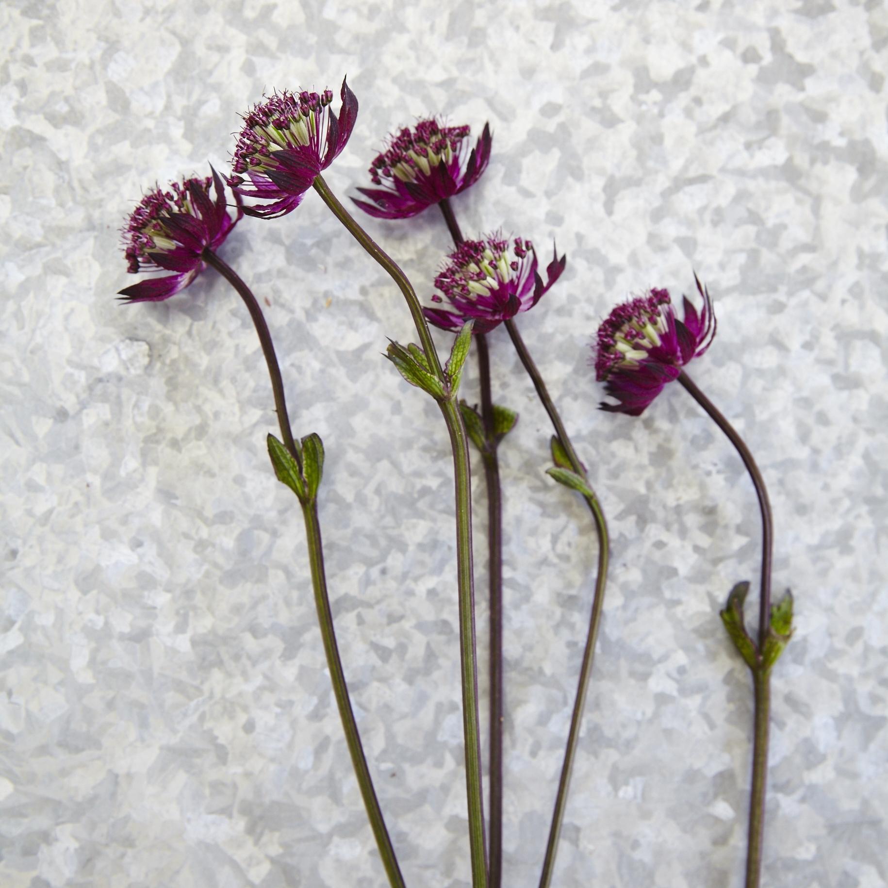 FlowerSybil7.jpg