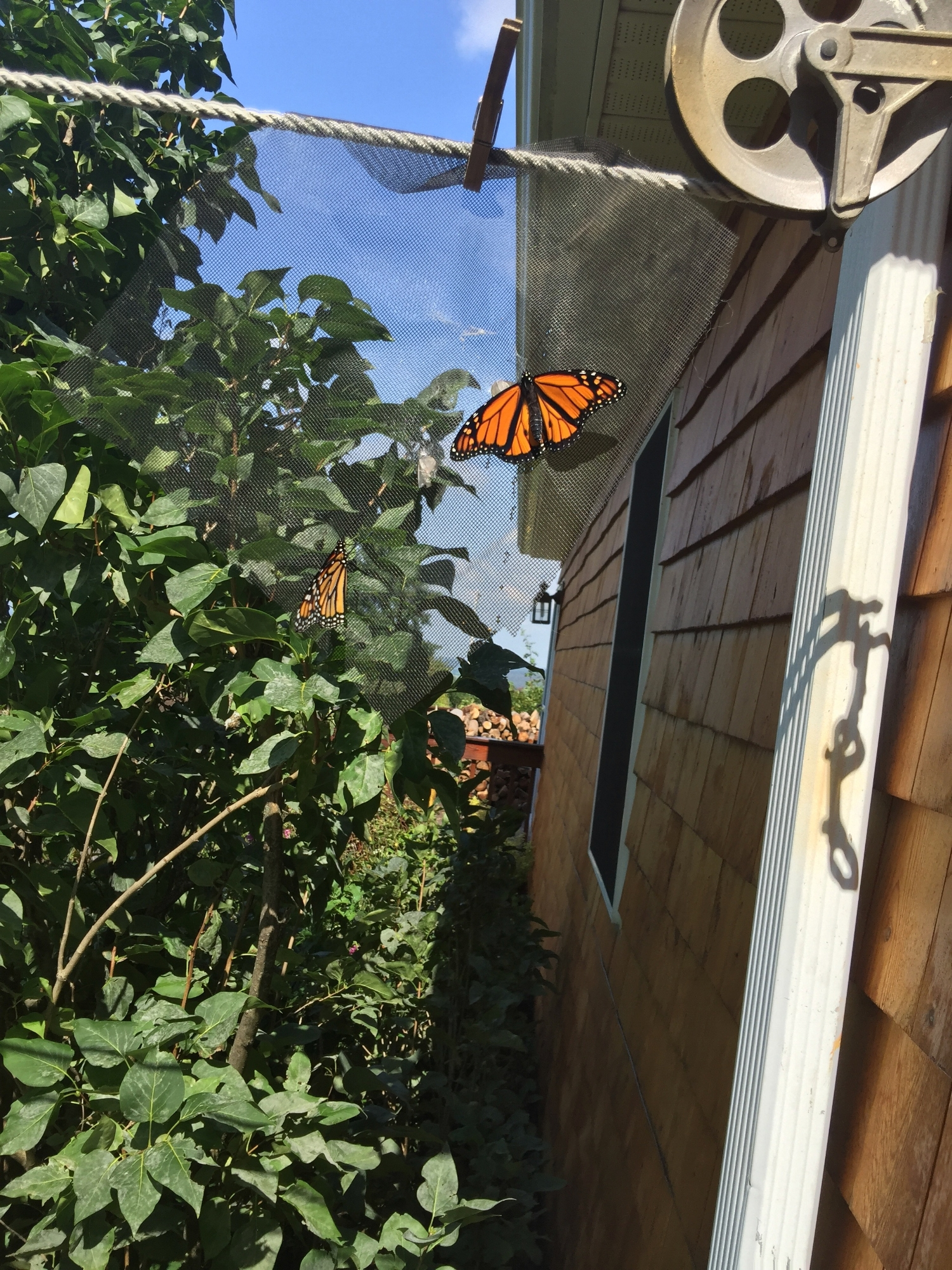 Two male Monarchs saved as caterpillars from hay field