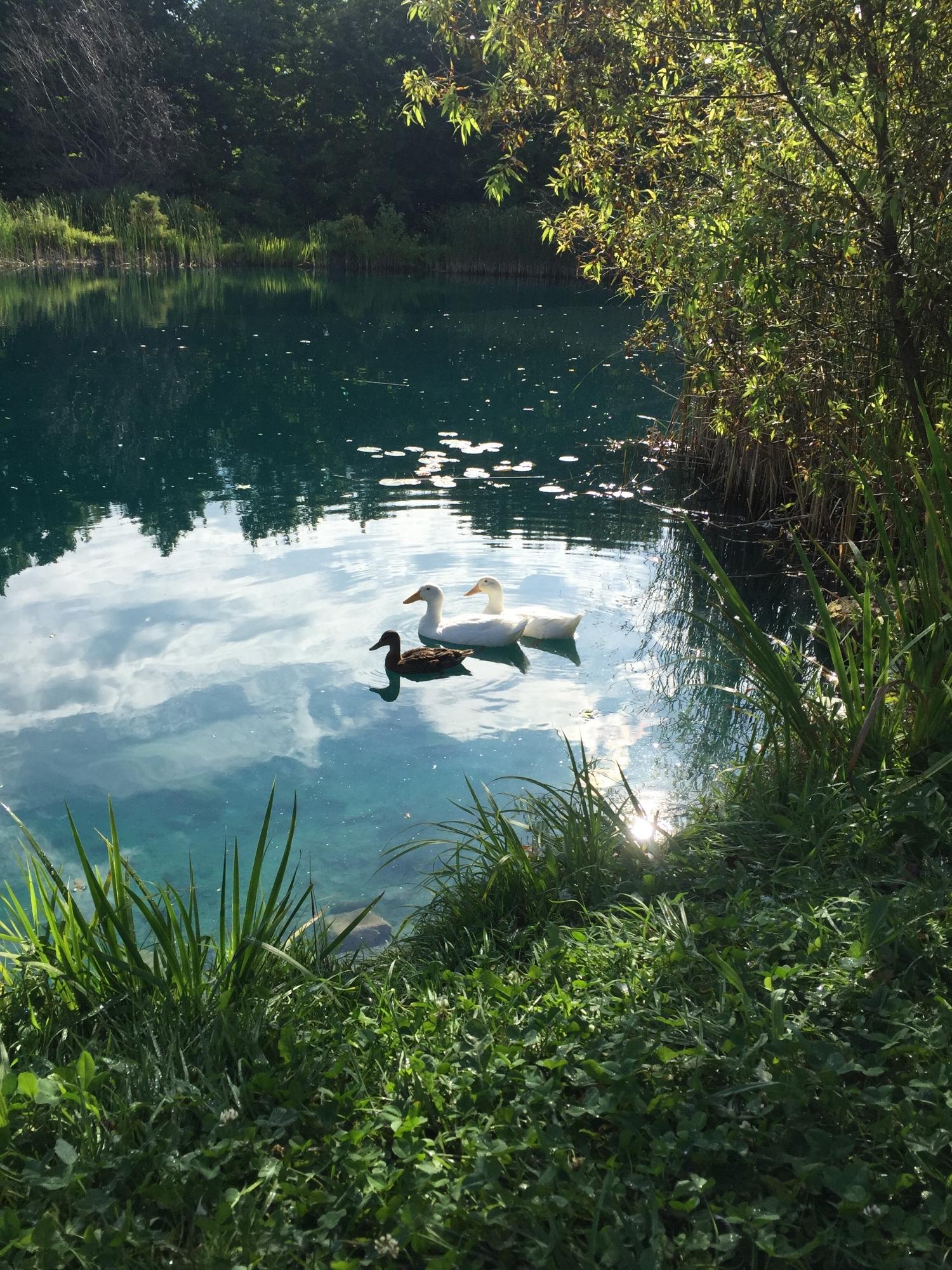 Some ducks enjoying a summer splash on the irrigation pond