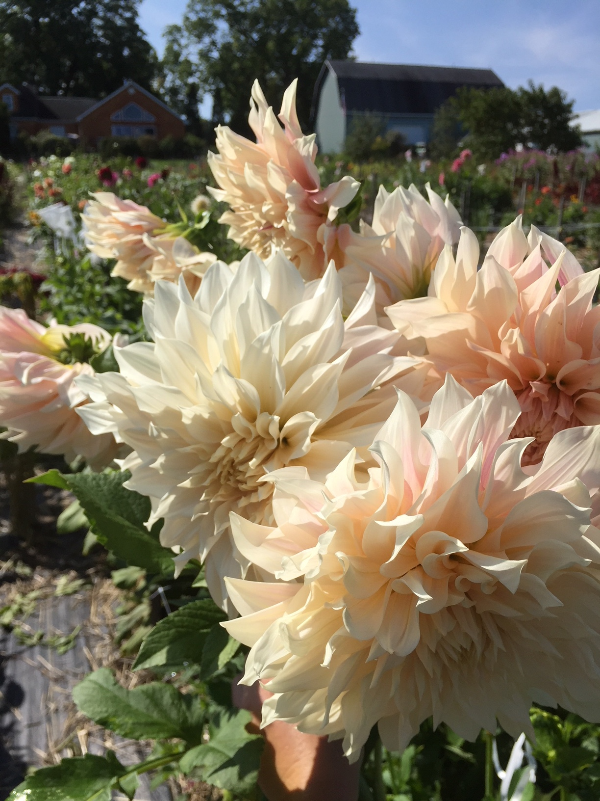 Cafe Latte Dahlias