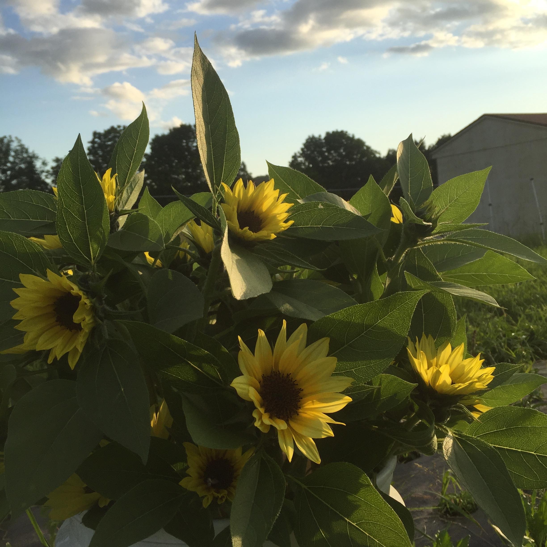 first_sunflowers.JPG
