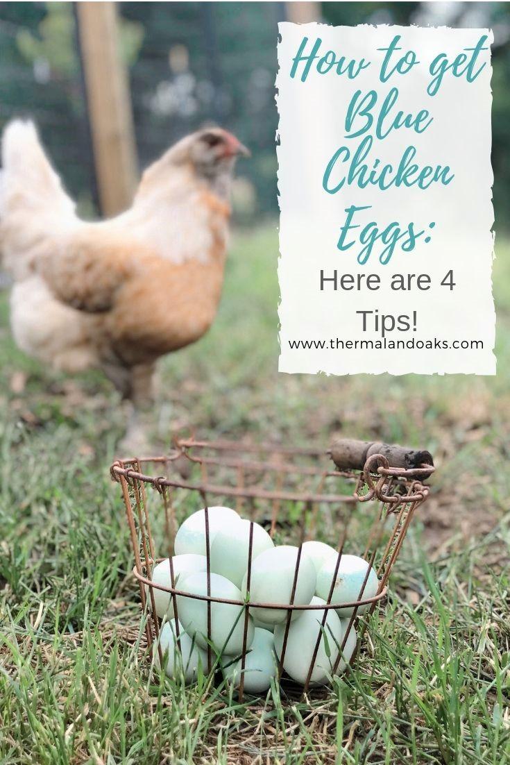 Blue Chicken eggs.jpg