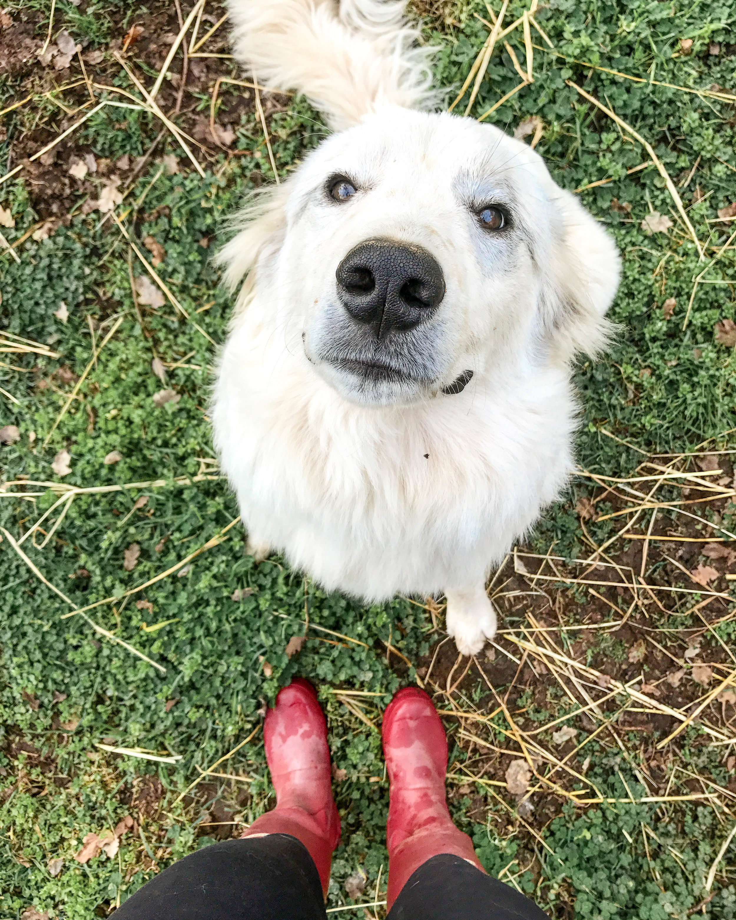 Livestock Dog #greatpyrenees, #livestockdog, #dog, #guarddog, #livestockdoginfo