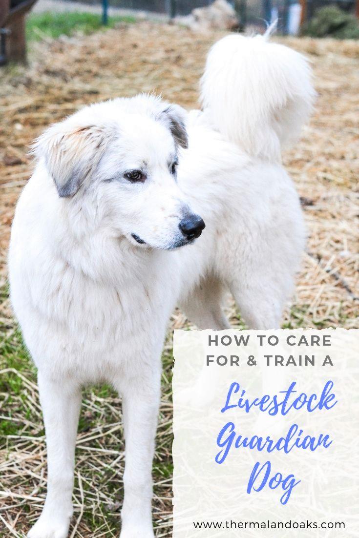 Livestock Dog #greatpyrenees, #livestockdog, #dog, #guarddog, #livestockdoginfo, #akbash, #livestockguarddog