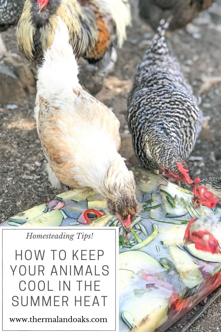 How do you keep your animals cool on the homestead during the summer? Click here #summer #backyardchickens #homesteadinglife, #greatpyreneese, #livestockdog, #chickentreats, #chickens, #howtohomestead, #diyhomestead, #cheaphomestead, #farmingtips, #farmtips, #turkeys, #summerheatandanimals, #iceblock, #frozentreats, #homesteading