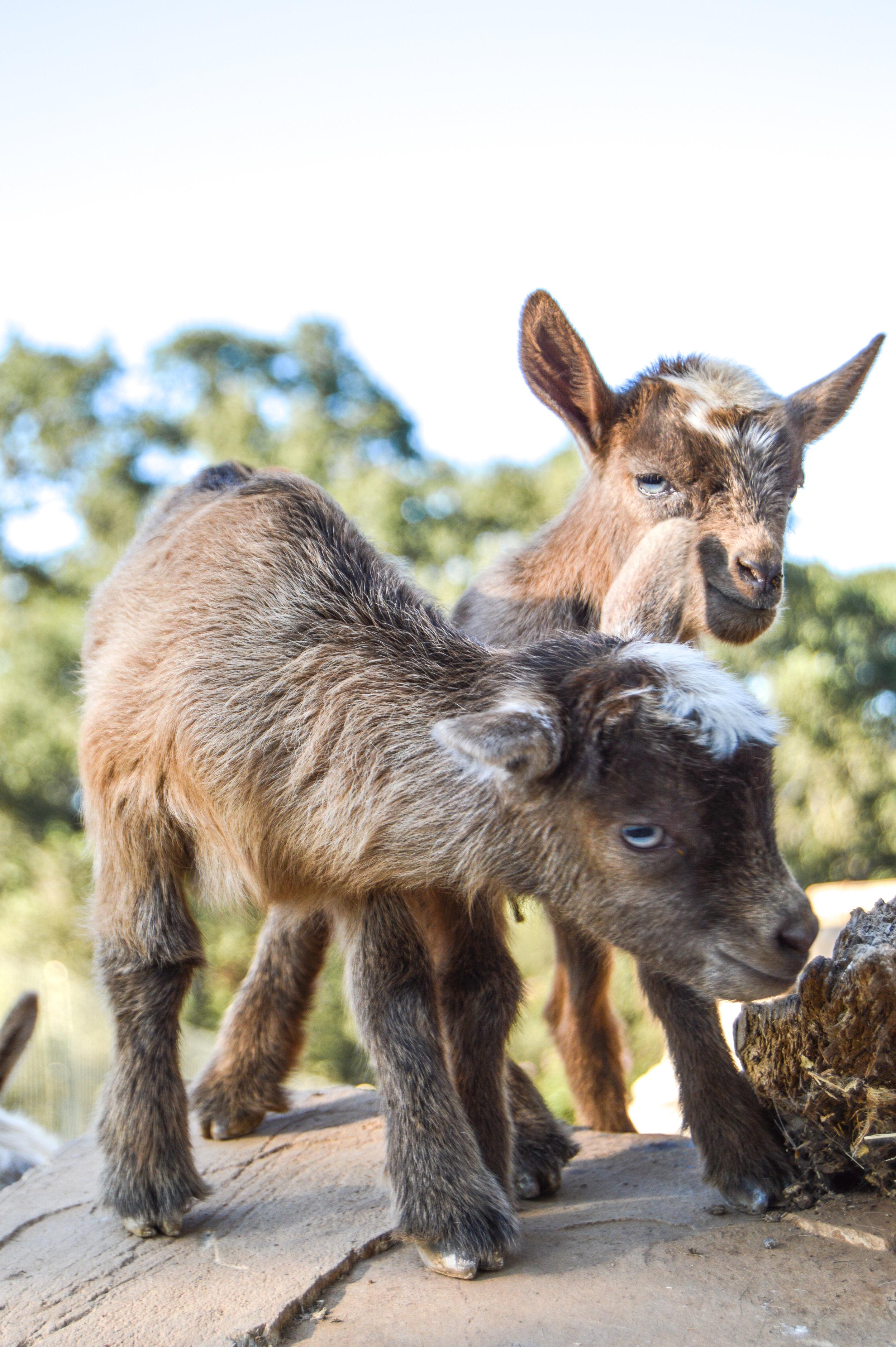 Baby Goat #babygoat, #goats, #farmanimals, #babyfarmanimals, #nigeriandwarf, #niferiangoat, #goatlove, #crazygoatlady, #homestead, #homesteadgoals, #babyanimals