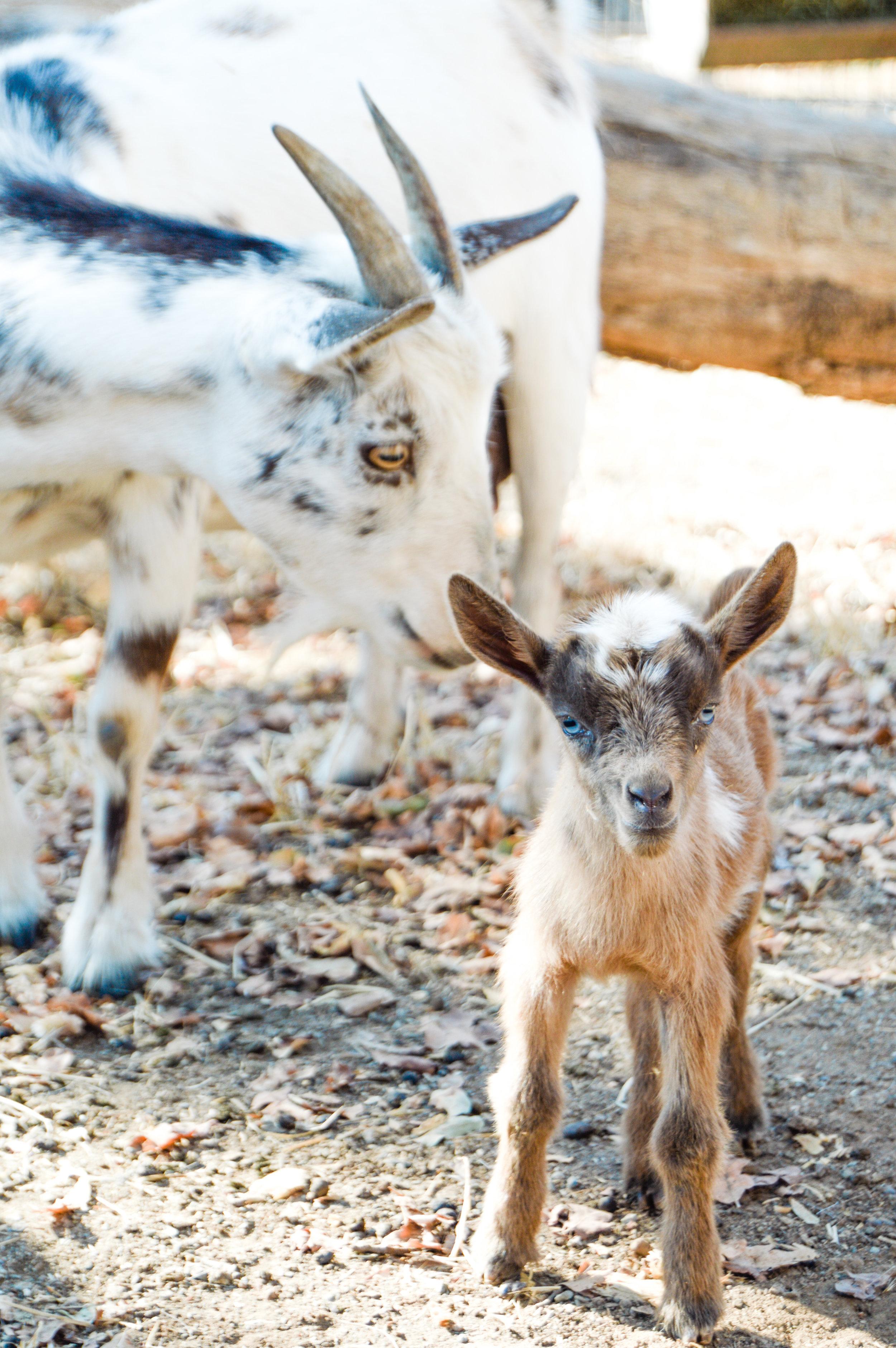 Baby goats #babygoat, #goats, #nigeriandwarfgoats , #babygoats, #goatbaby, #homesteading, #homesteadsurvival , #goatpregnancy, #farmlife, #howtodeliver, #goatlabor, #goatlabor, #kidding, #kids, #homesteadinglife