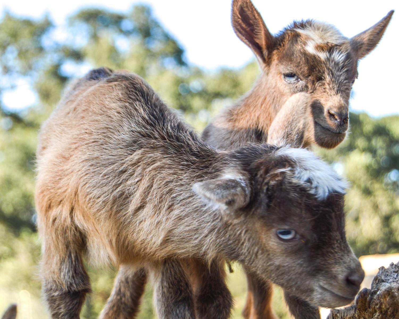 Baby+Goat+#babygoat,+#goats,+#farmanimals,+#babyfarmanimals,+#nigeriandwarf,+#niferiangoat,+#goatlove,+#crazygoatlady,+#homestead,+#homesteadgoals,+#babyanimals.jpg
