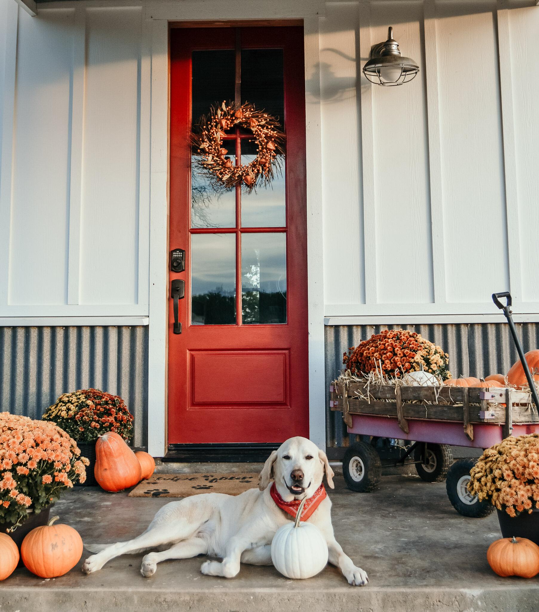 #pumpkin, #fall, #falldecor, #autumn, #pumpkinlove, #pumpkinspice, #fallflowers, #flowerfarmer, #farmerlove, #summergarden, #autumn, #vintage, #farmtofork, #homesteading, #homestead, #homesteadinglife, #autumnviews, #homegrown #porch #mums, #farmhouseporch, #fallporch, #falldecor, #fallobsessed, #labradors, #farmhousedecor