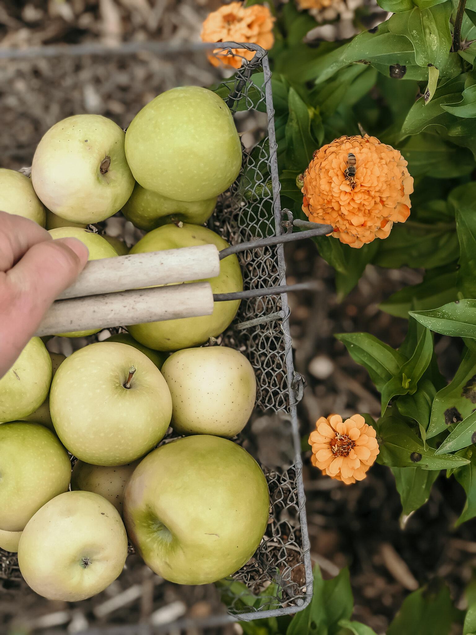 Apple Harvest Apple Pie Blondes#garden, #summergarden, #harvest, #homesteading, #pesto, #diygarden, #gardengoals, #summergardening, #farmtofork, #nutrition, #homegrown, #farmtotable, #homegrownfood, #healthyfood, #healthyrecipes, #falldesserts, #apples, #appledessert, #applepie, #appleblondie, #brownie, #applepie