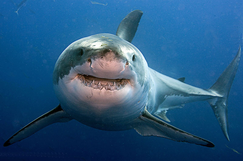 Great White Shark.jpg