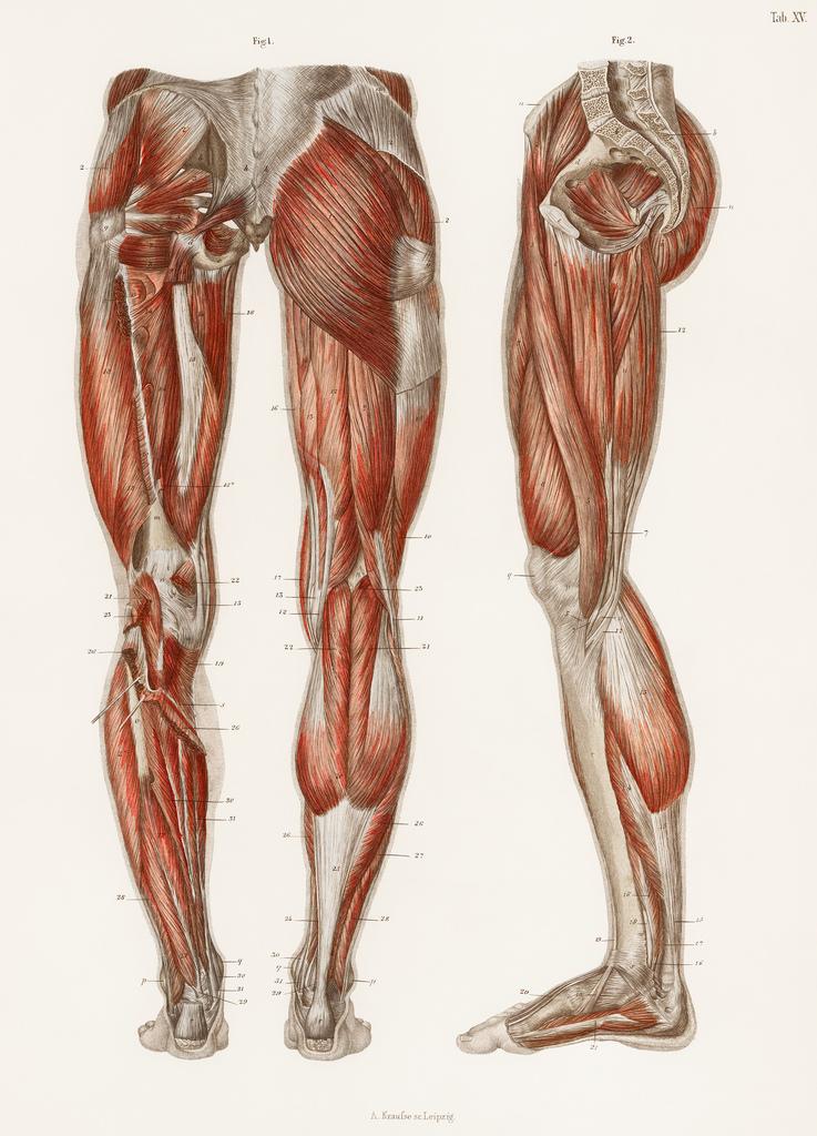 leg muscles.jpg