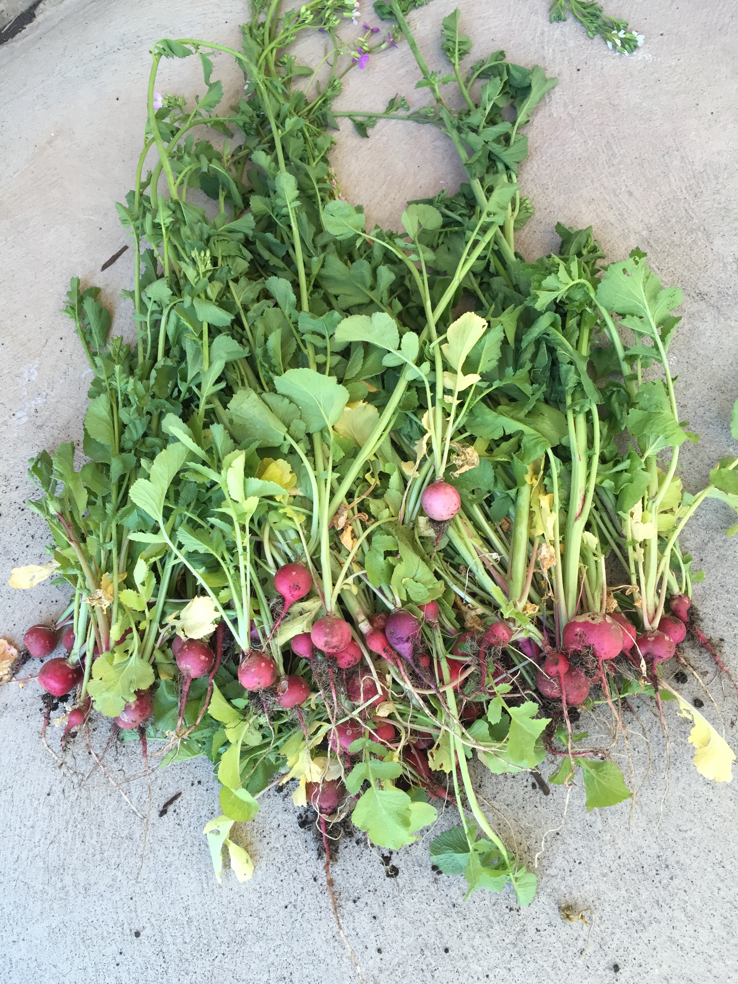 Radishes picked and dropped off at a Backyard Gardenshare cooler.