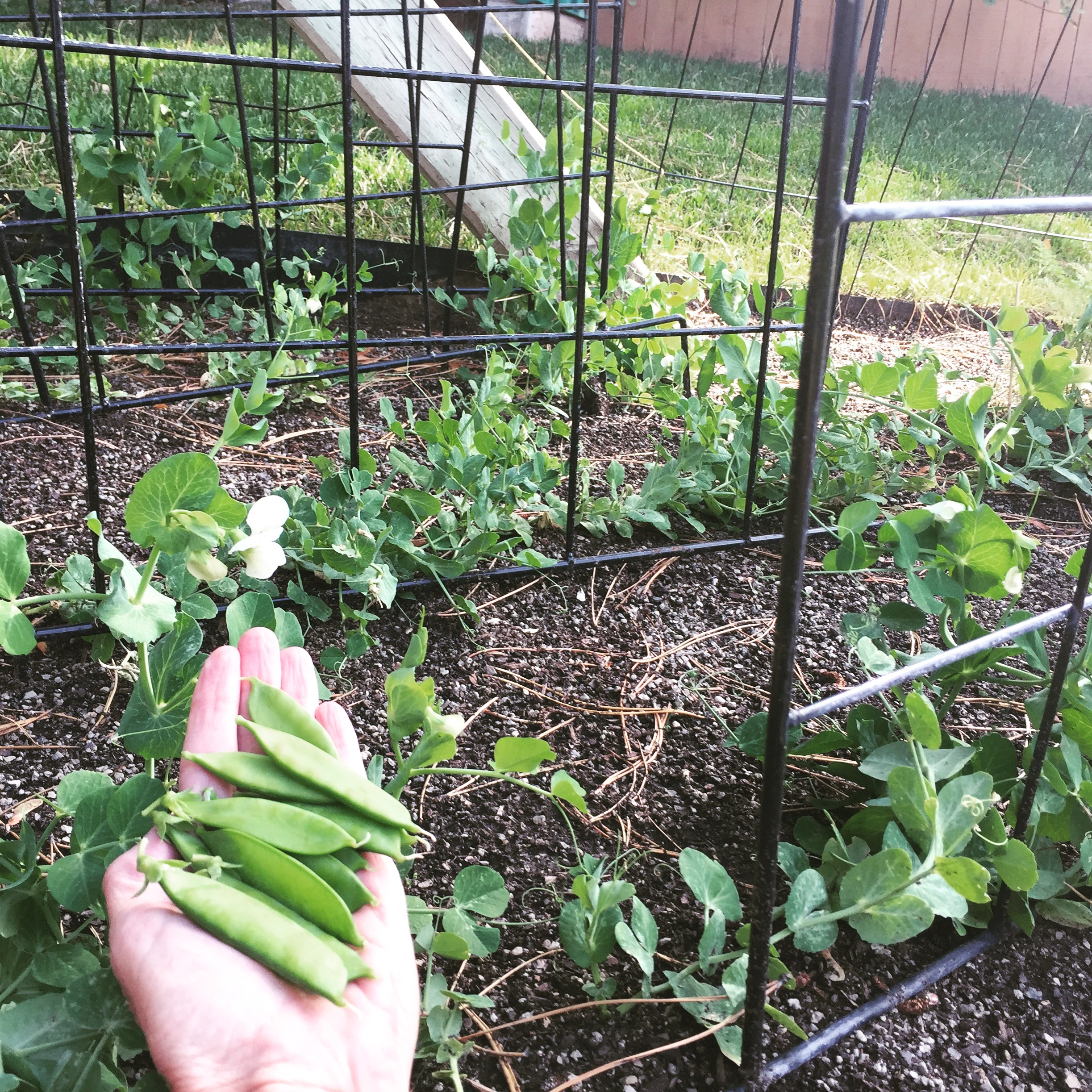 Plant your peas in July/August for a fall harvest.