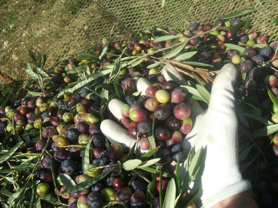 Fresh picked olives for olive oil