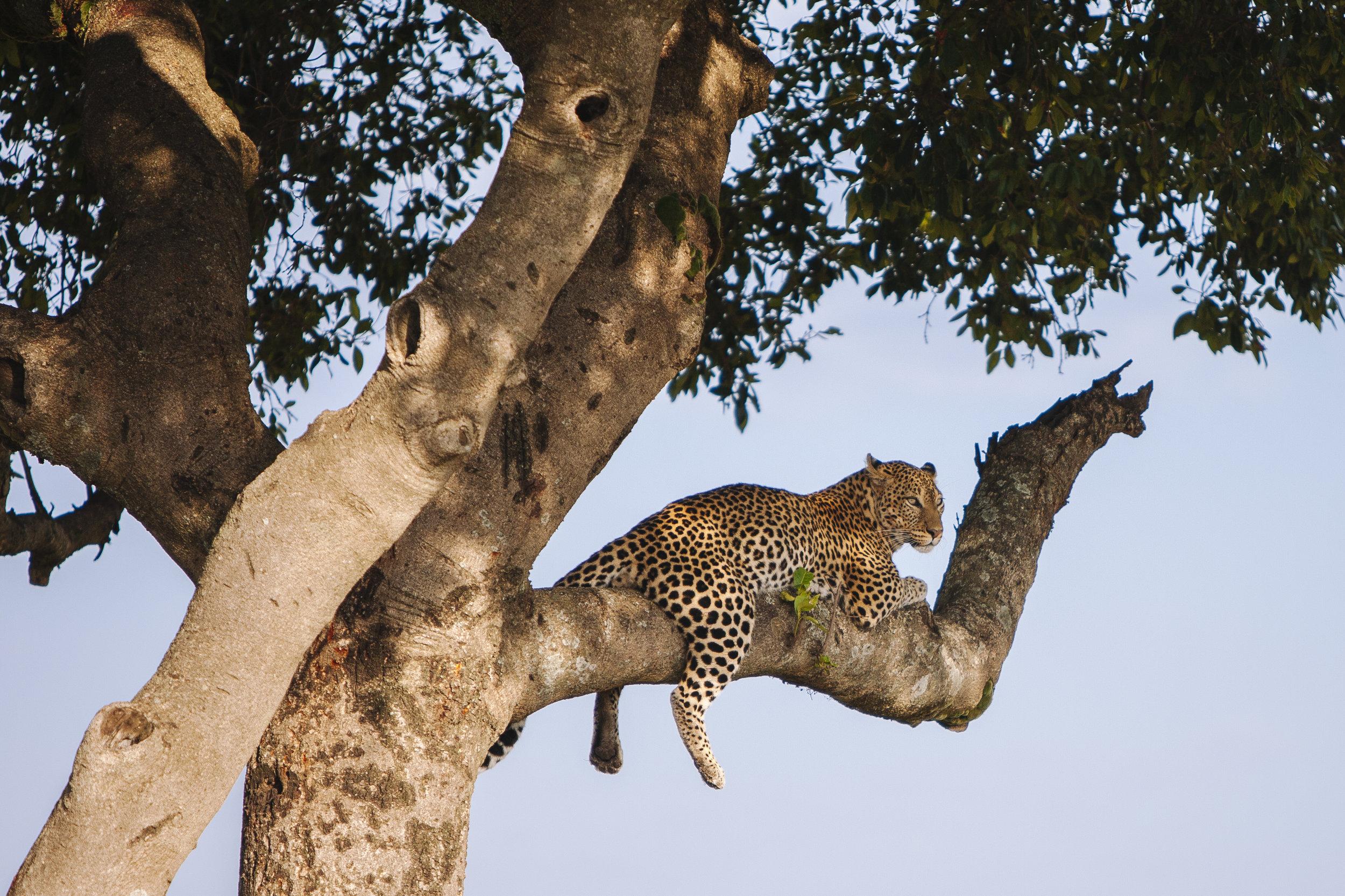 Kenya_Leopard-2593.jpg