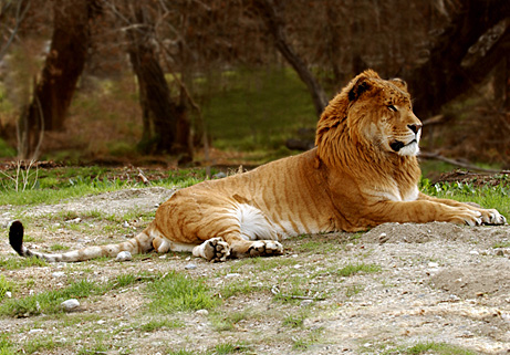 Ligers disrupt our understanding of species boundaries. Source: news.nationalgeographic.com/news/2005/08/photogalleries_dynamite/images/primary