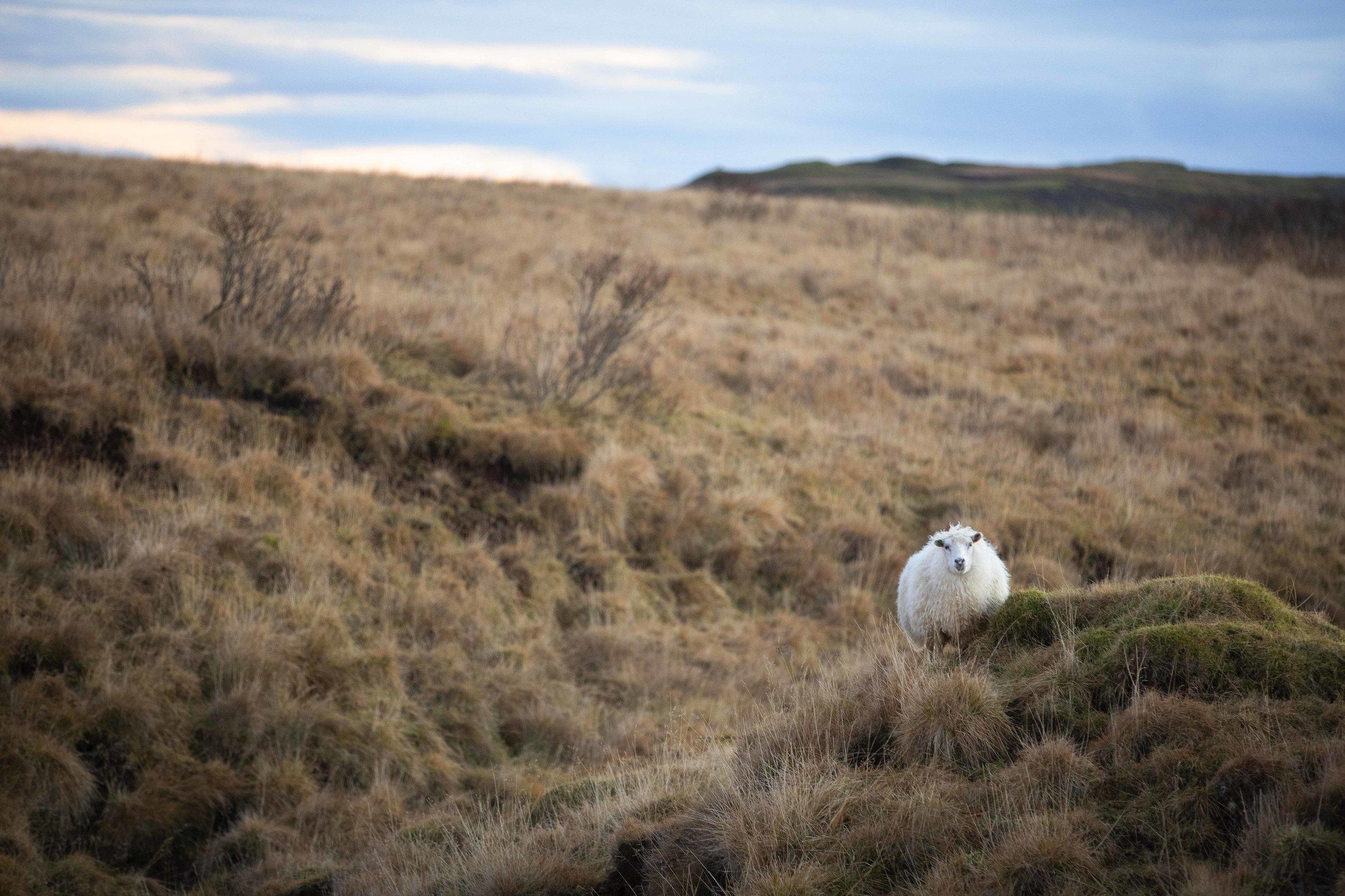 Sheep - Iceland