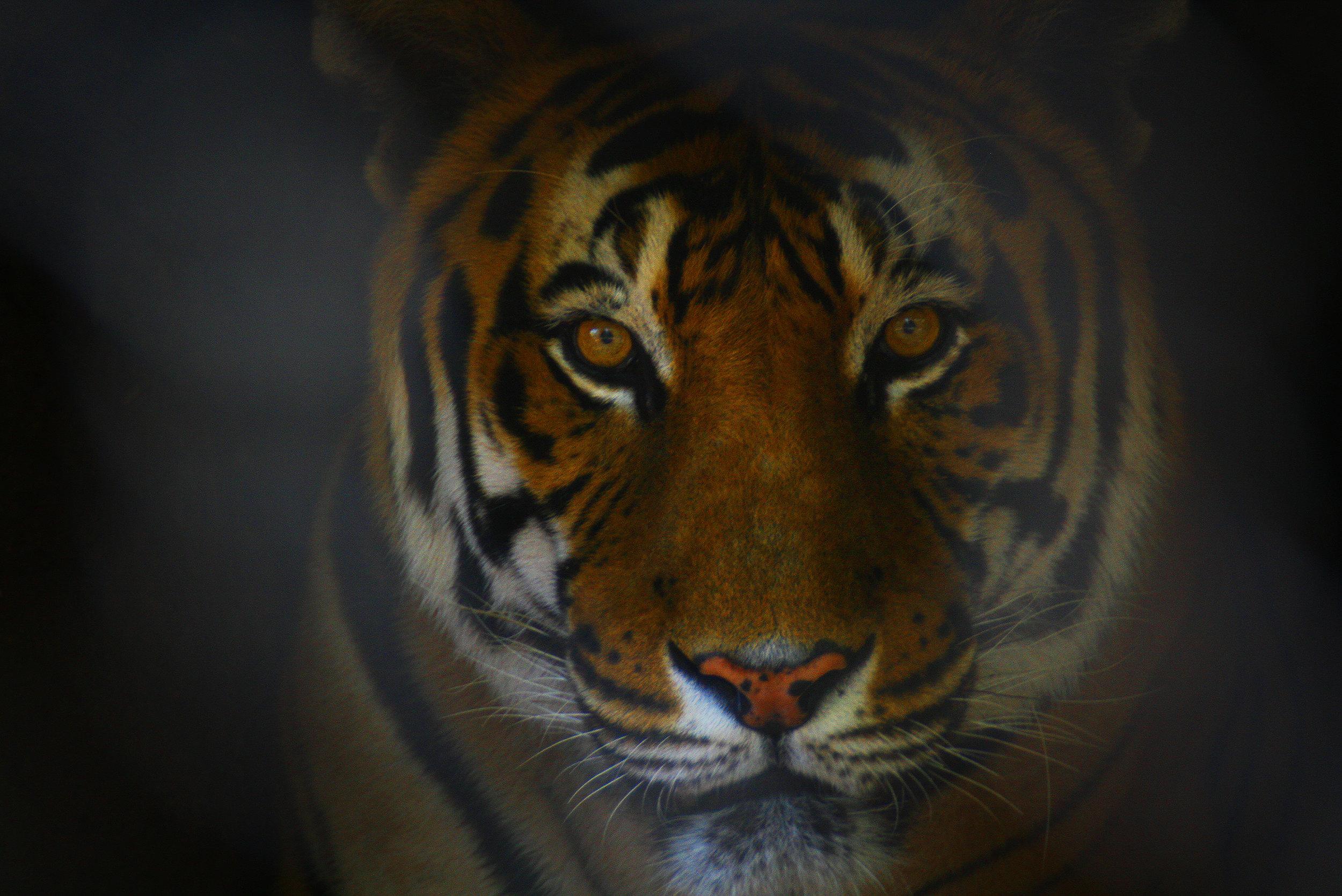 Tiger - Argentina