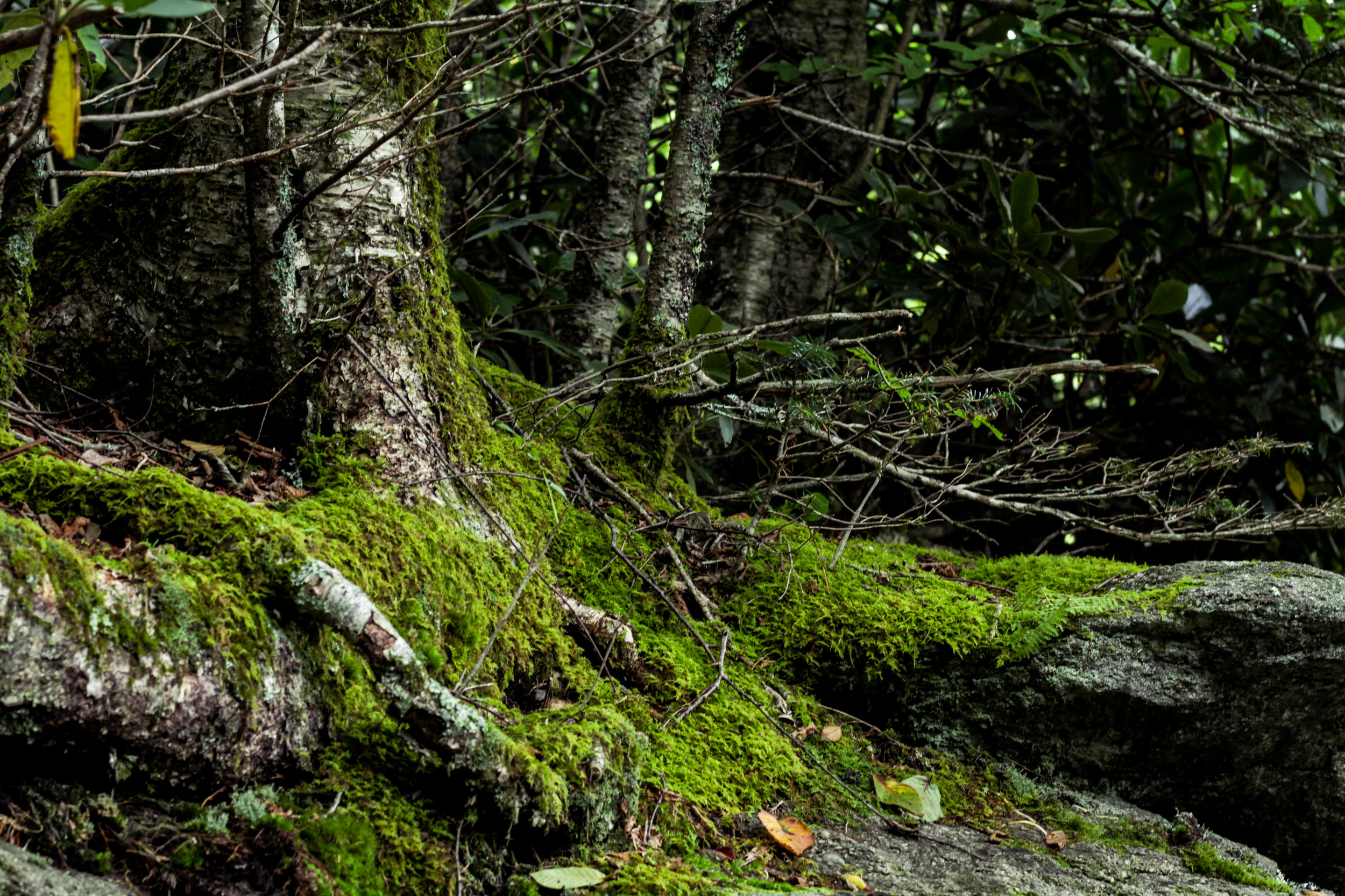 Grandfather Mountain Mossy Tree