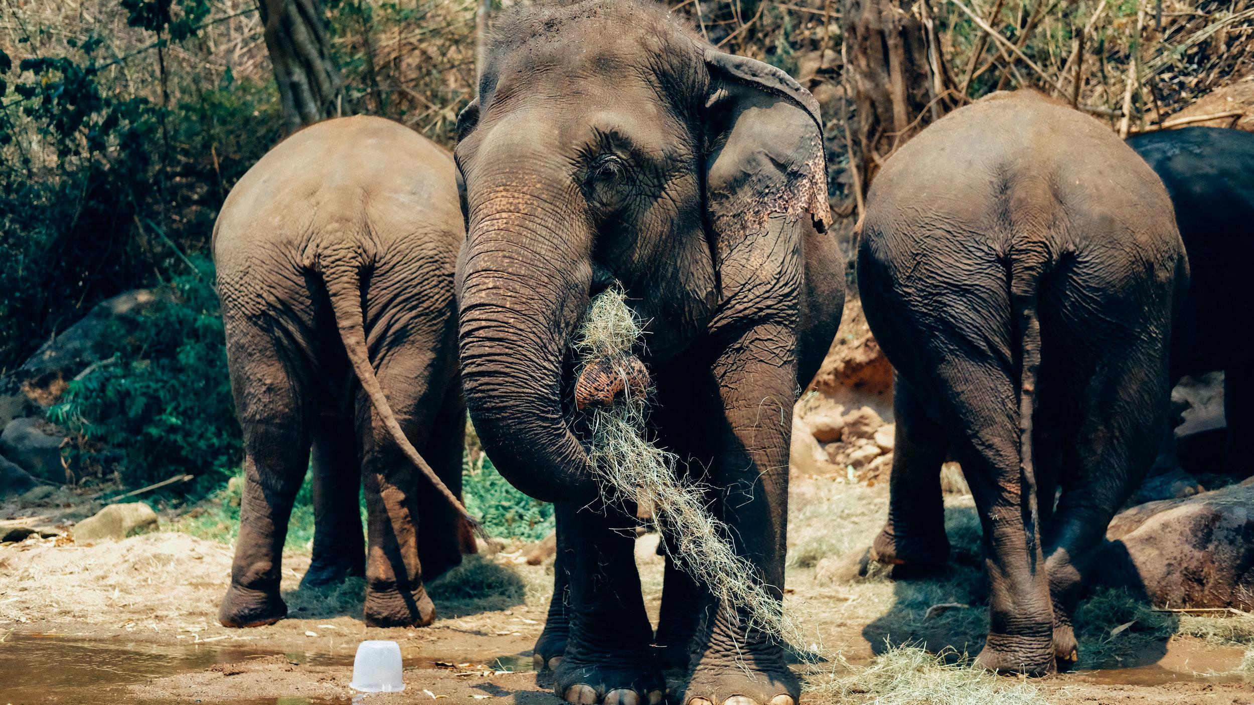 Elephants eating after their bath
