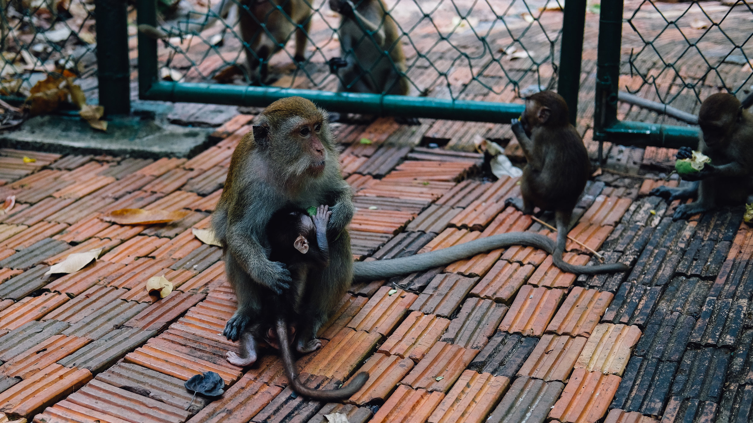 Monkies outside the tennis court at the Rayavadee Resort in Krabi.